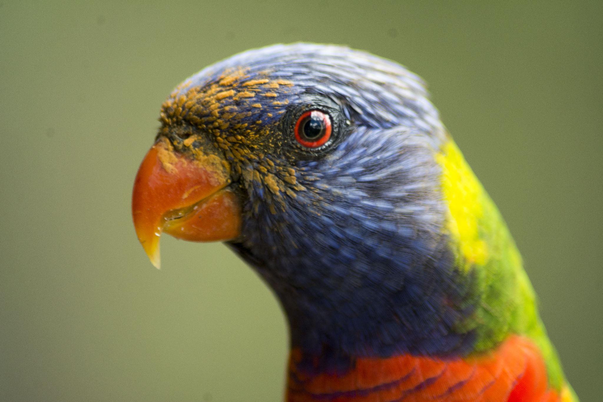 Rainbow Lorikeet with Grevillea pollen on his face