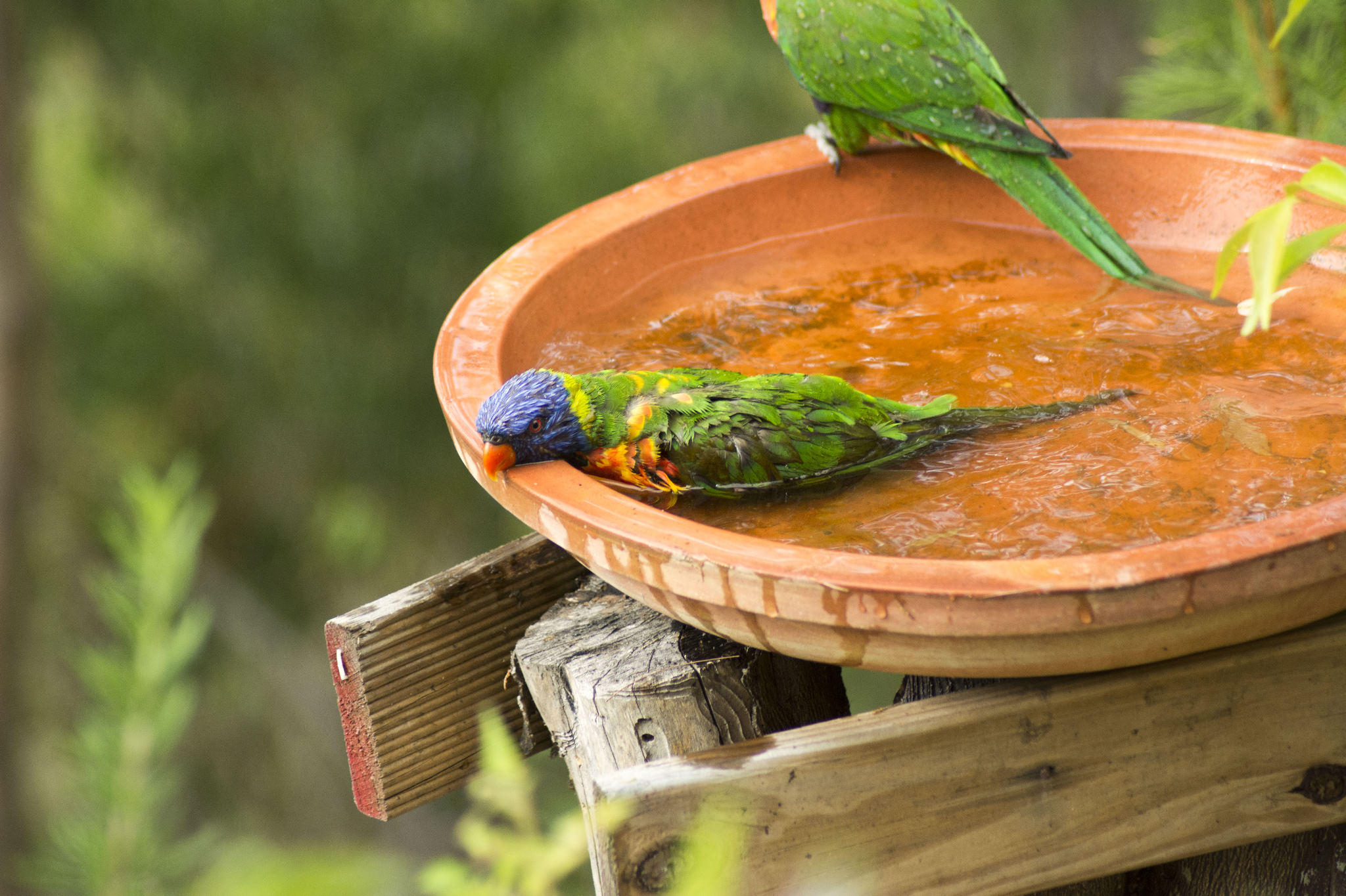 Rainbow Lorikeet cooling off in one of our baths on a hot day.