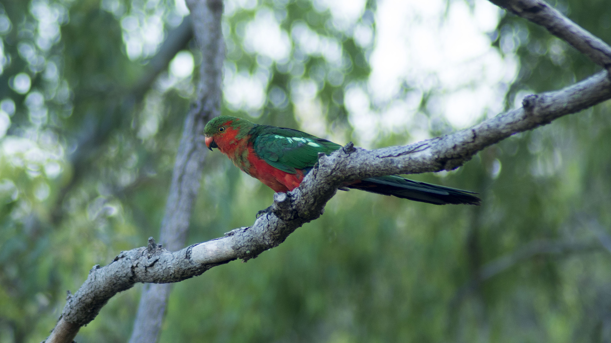 Immature Australian King Parrot - male