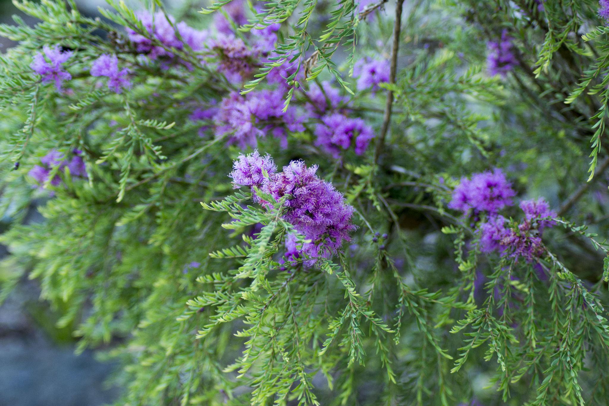 Melaleuca thymifolia - flowers