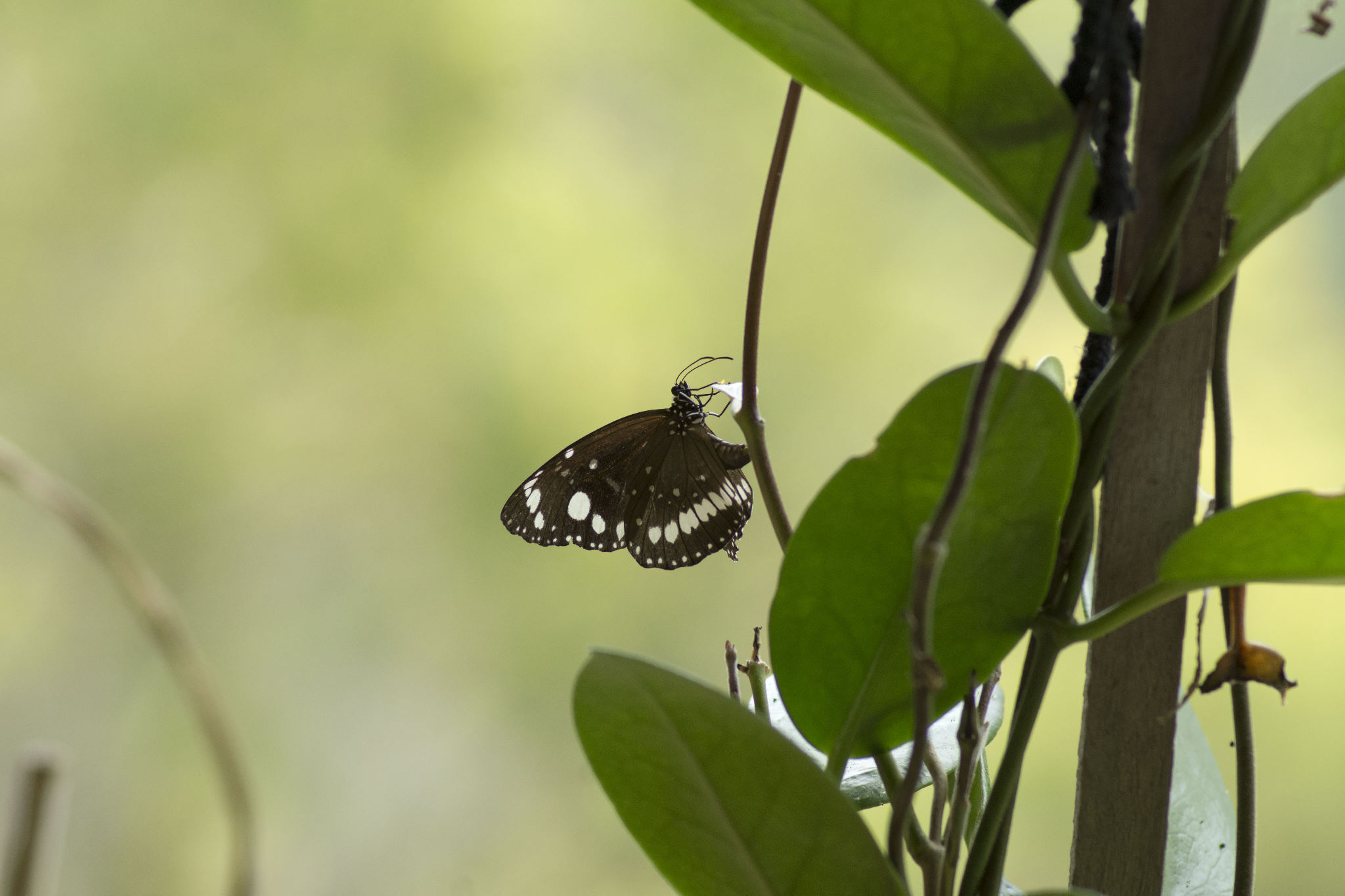 Common Australian Crow Butterfly