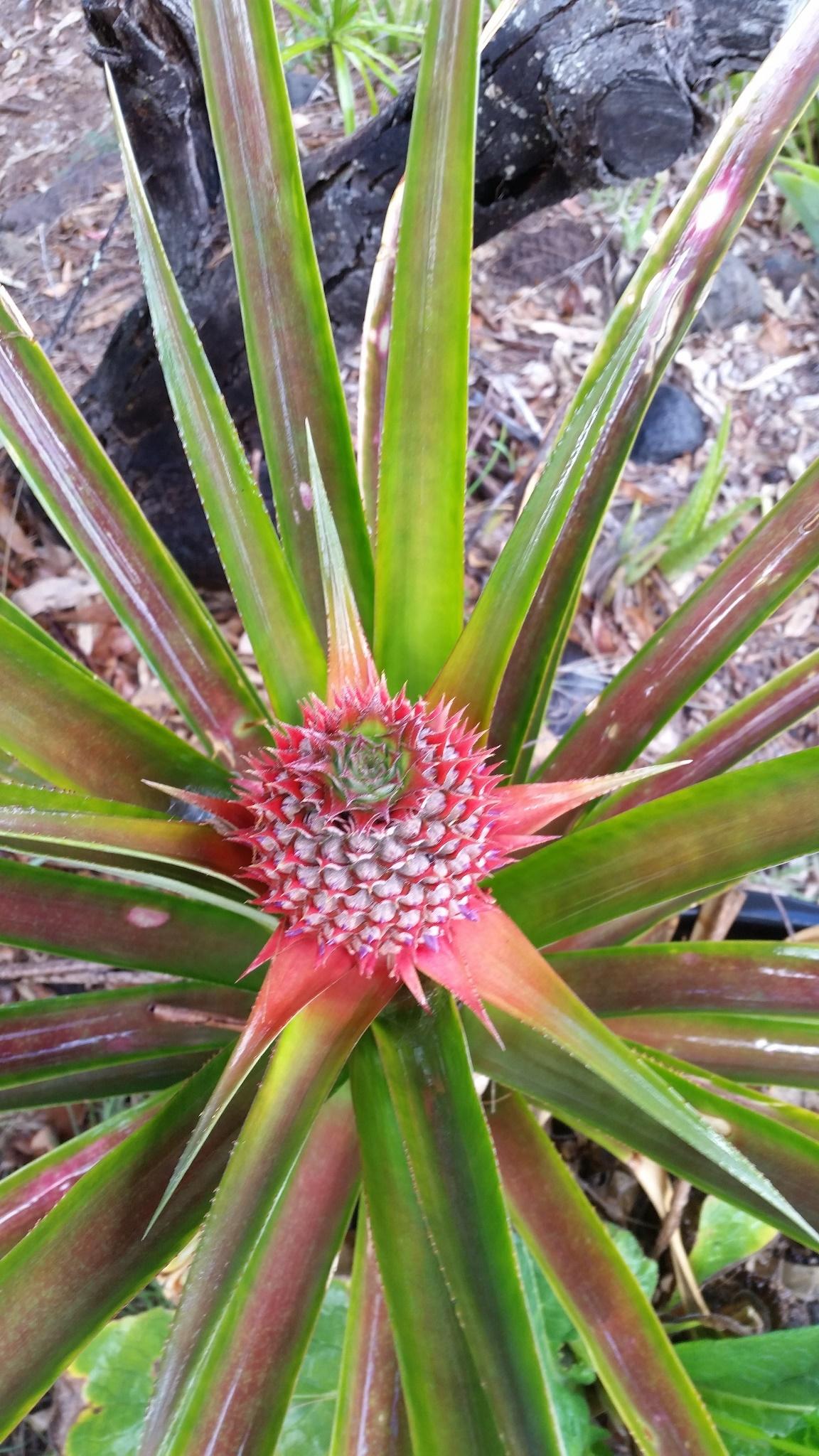 Pineapple - 2018