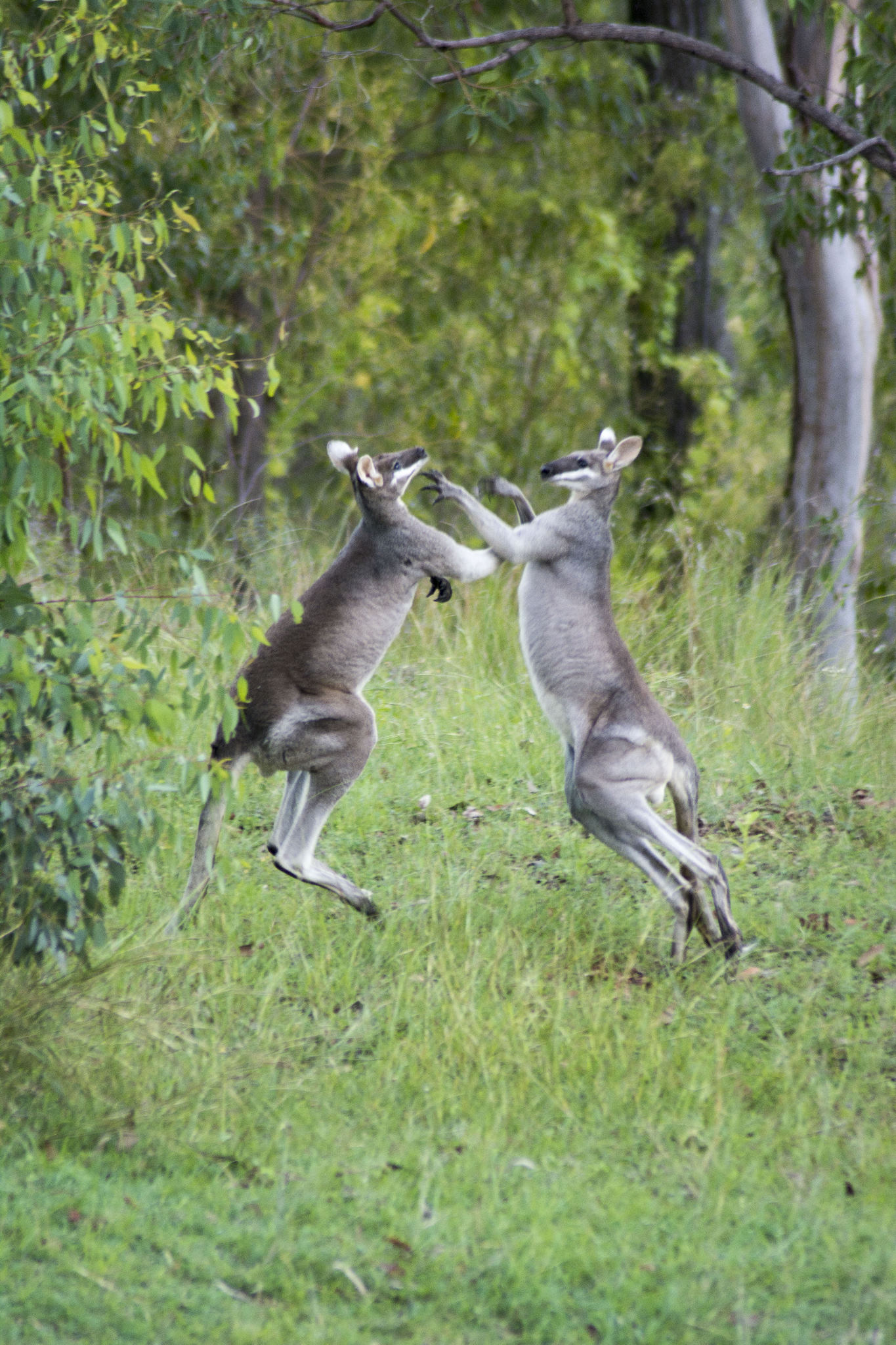 Pretty Faced Wallabies fighting