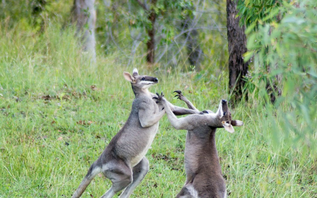 Pretty-faced Wallabies fighting – 13th March 2018
