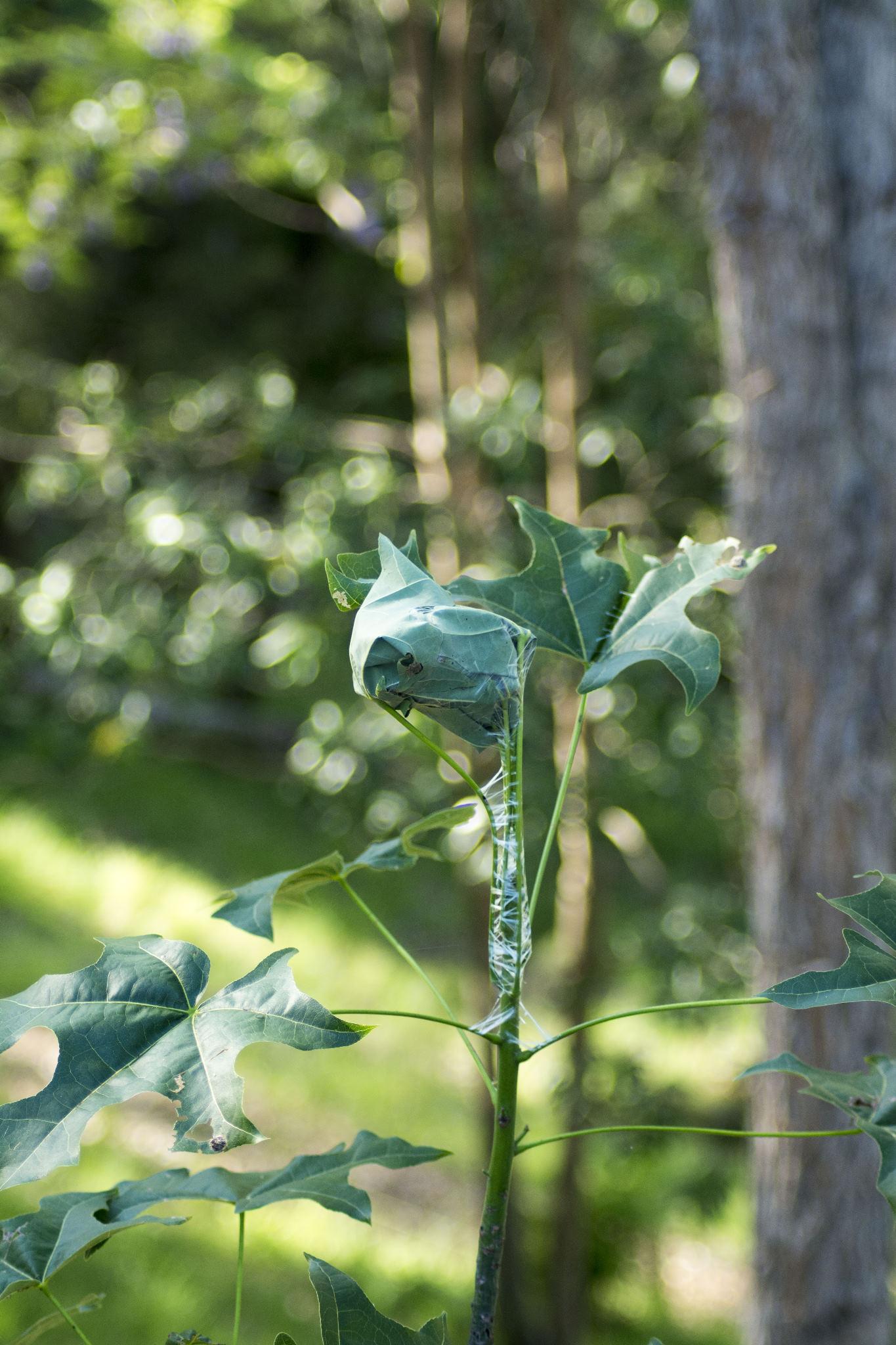 Brachychiton leaf-tying moth infestation on a Flame Tree