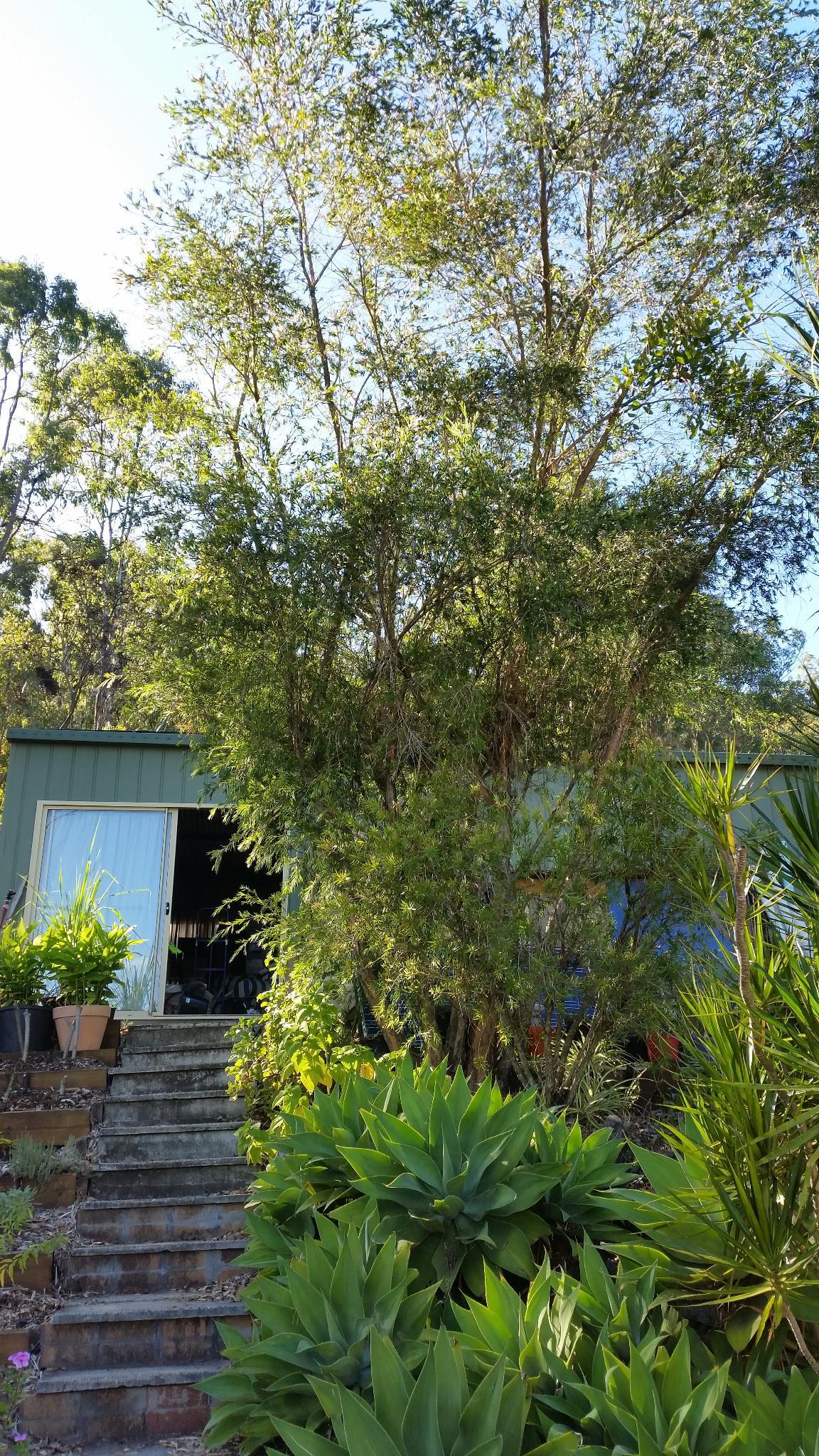 Big Callistemon - Pre-pruning