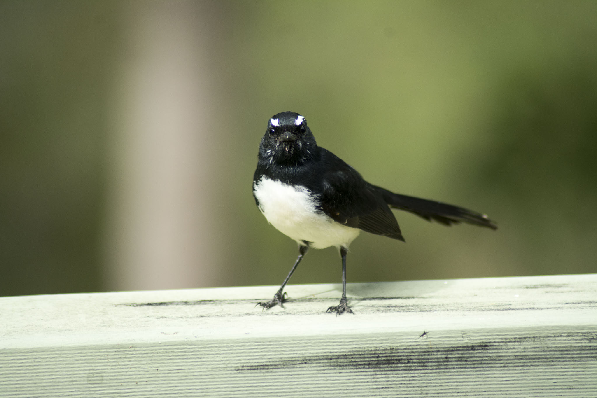 Jingeri Jingeri - Willy wagtail