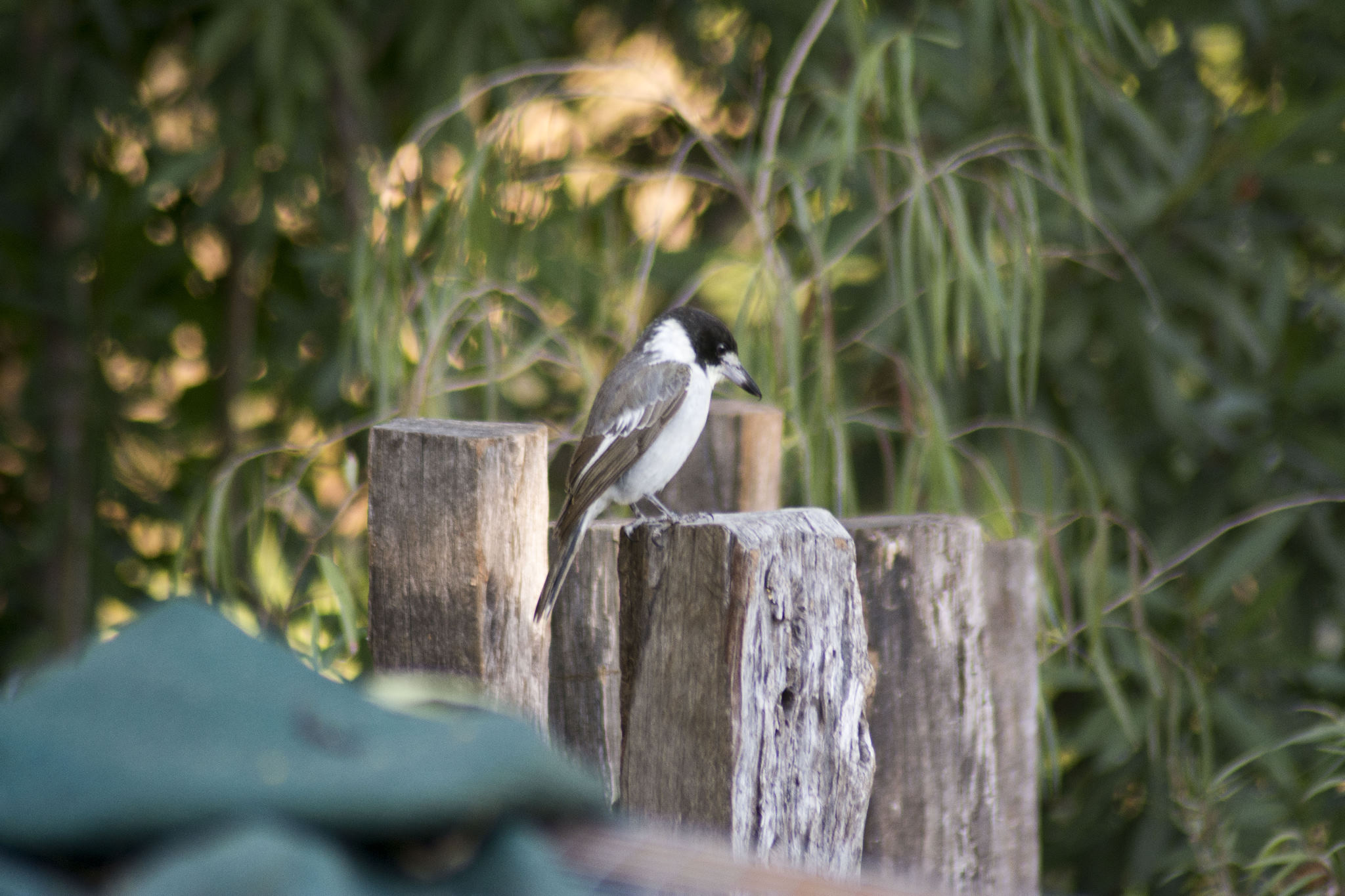 Butcherbird on the back water habitat