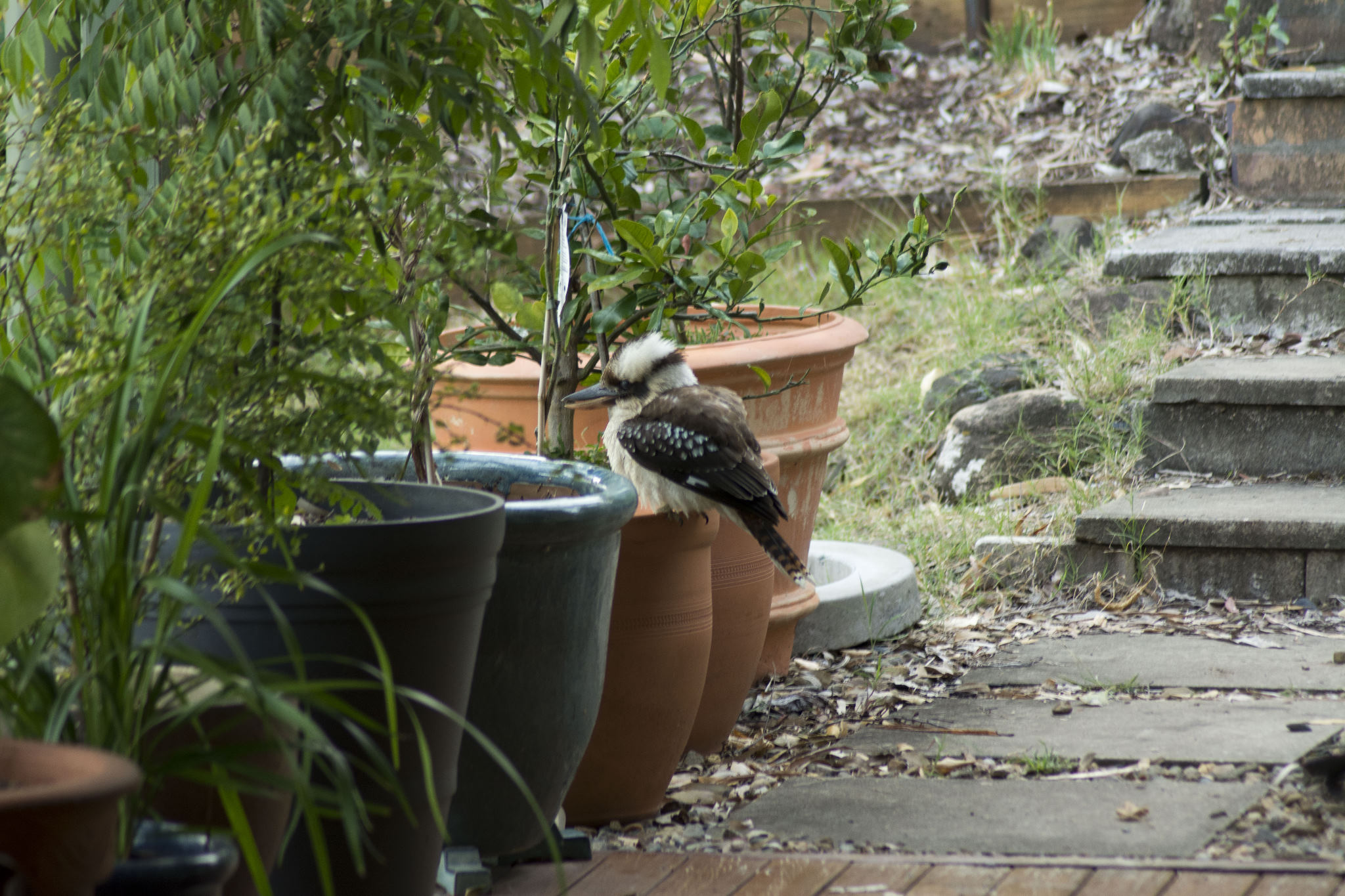 Kookaburra on a pot