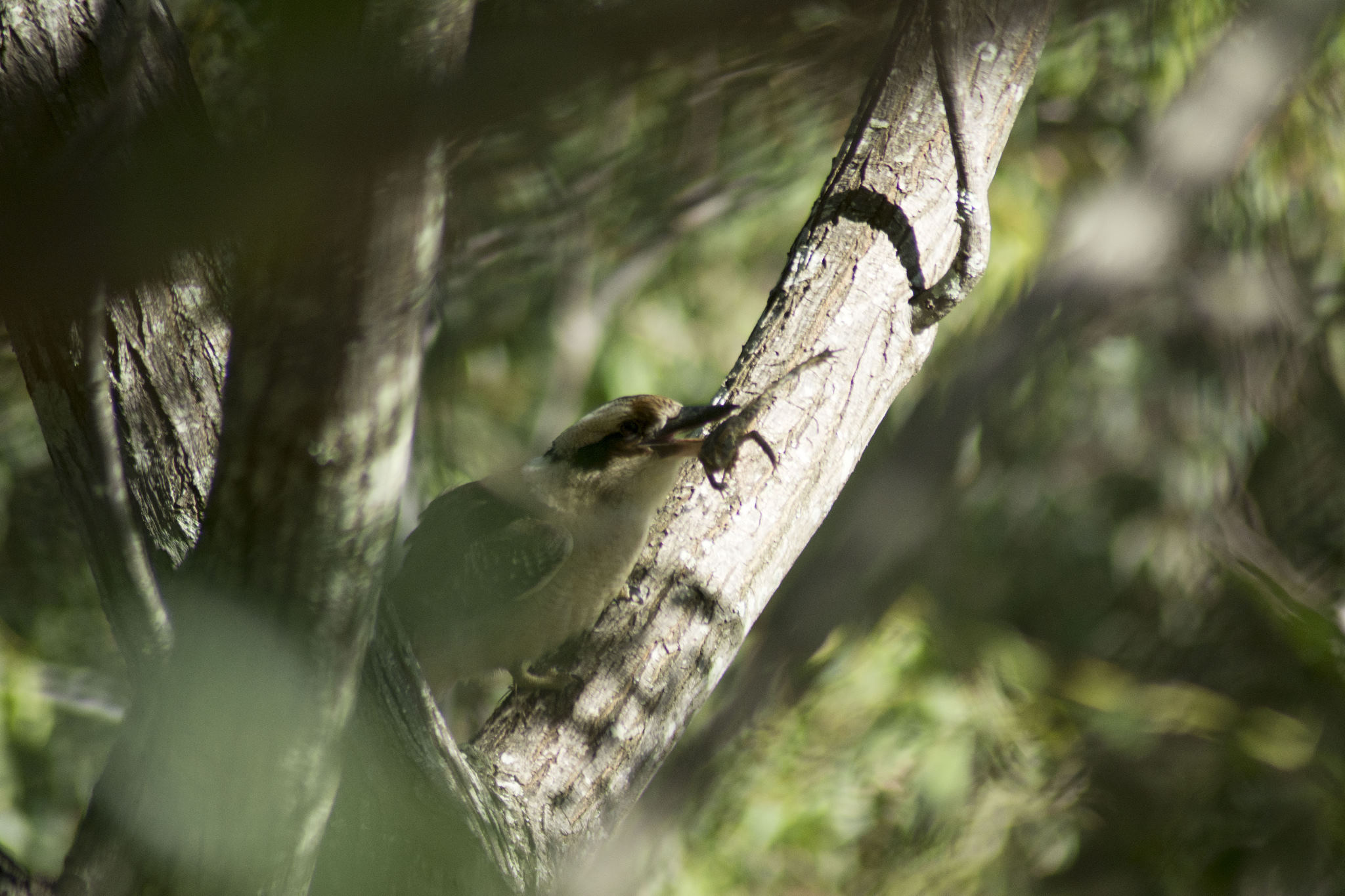 Kookaburra with a Cane Toad