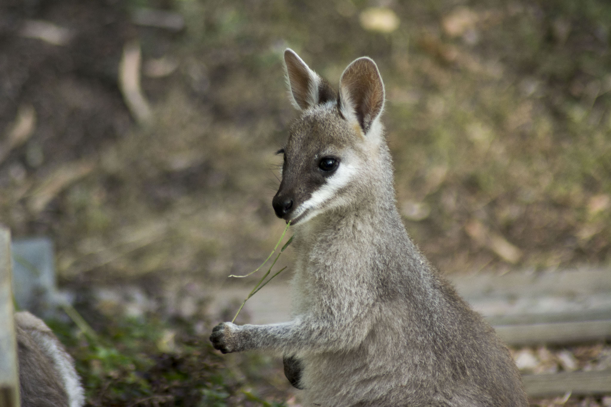 Pretty-faced Wallaby joey
