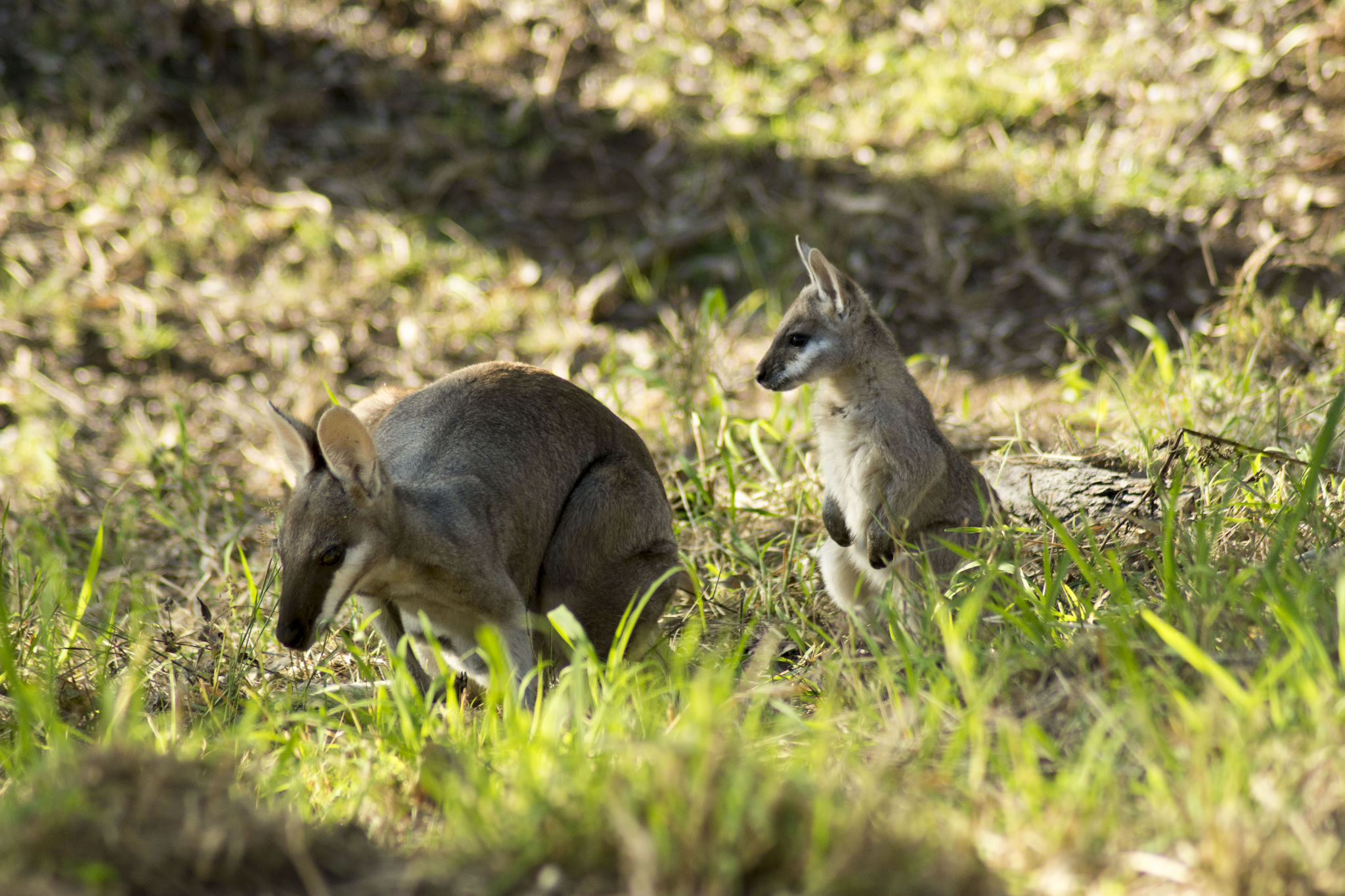 Pretty-faced Wallaby and joey