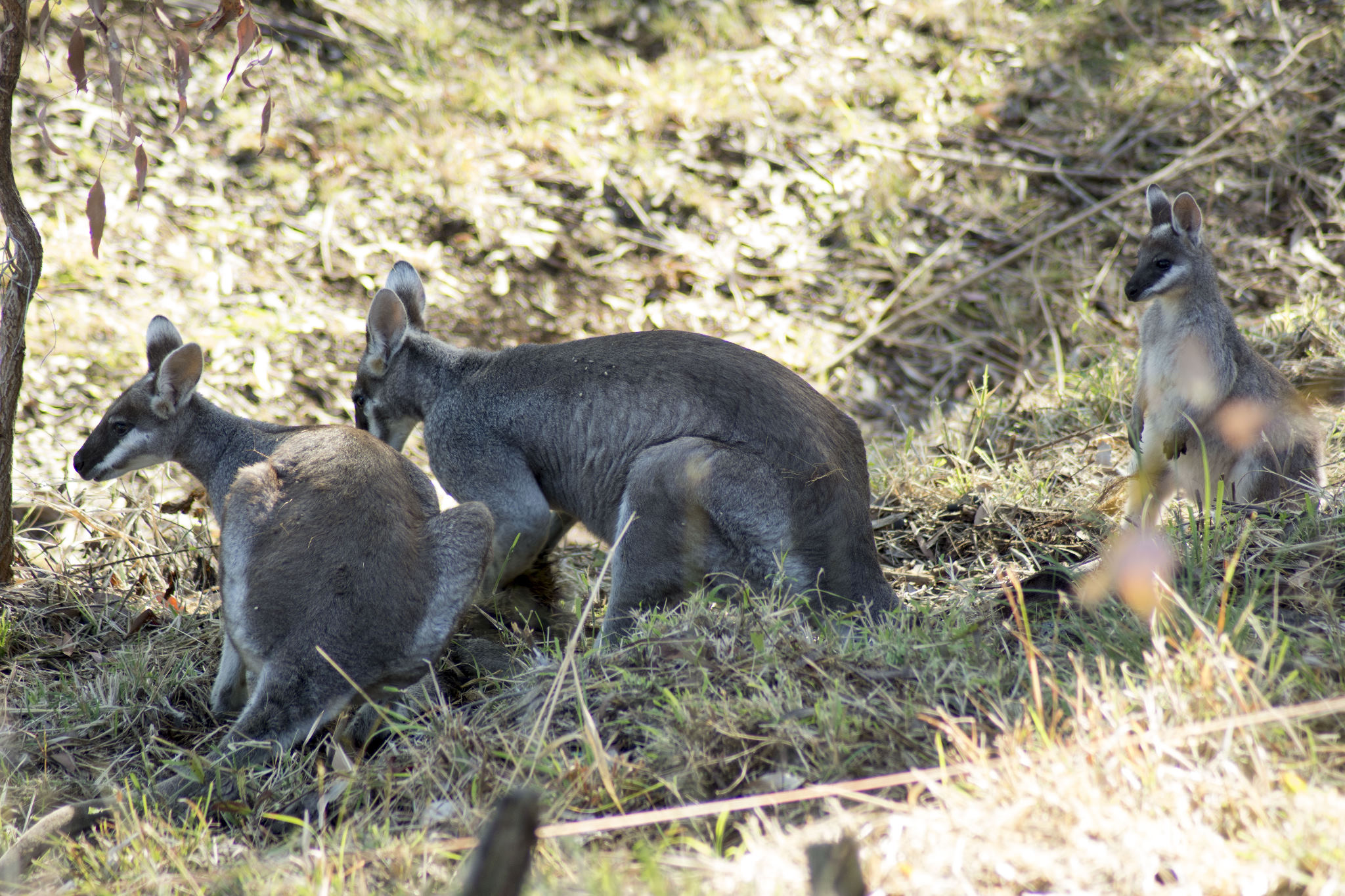 Pretty-faced Wallaby family