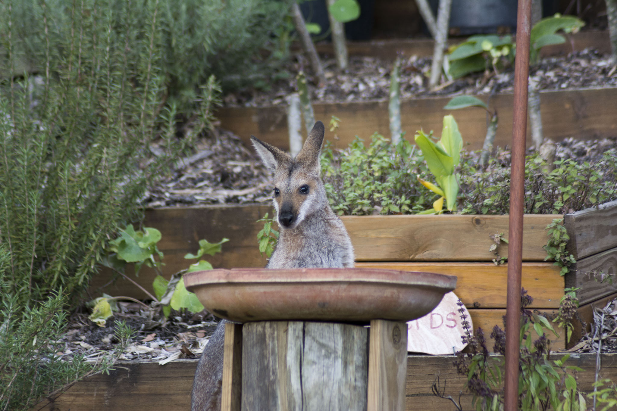 Red-necked Wallaby birdbath