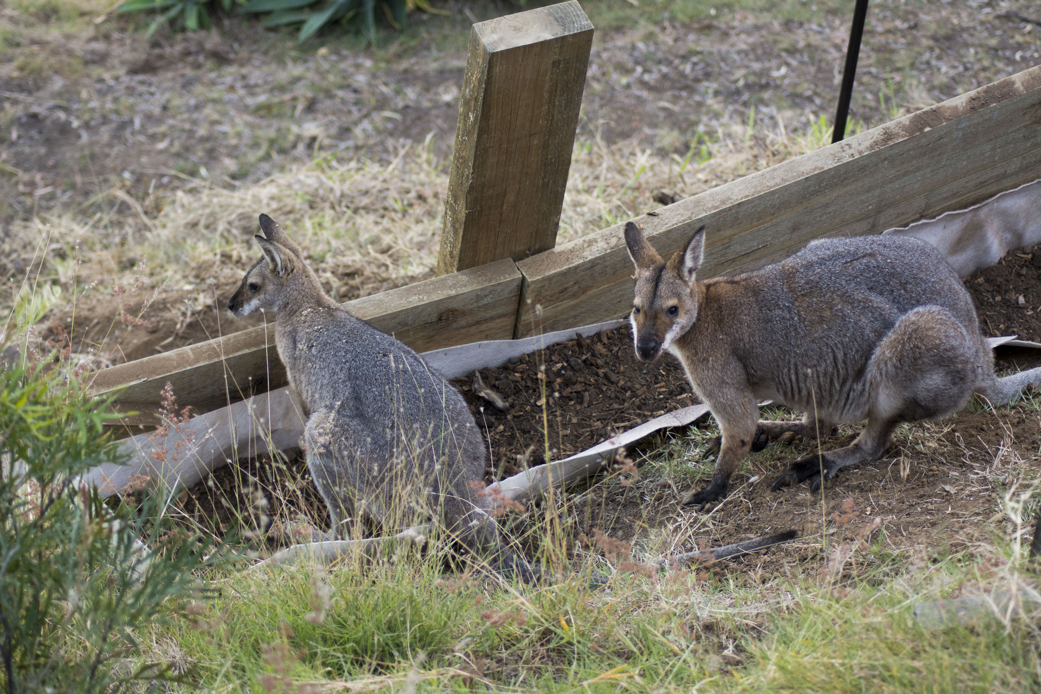 Red-necked Wallaby Pair