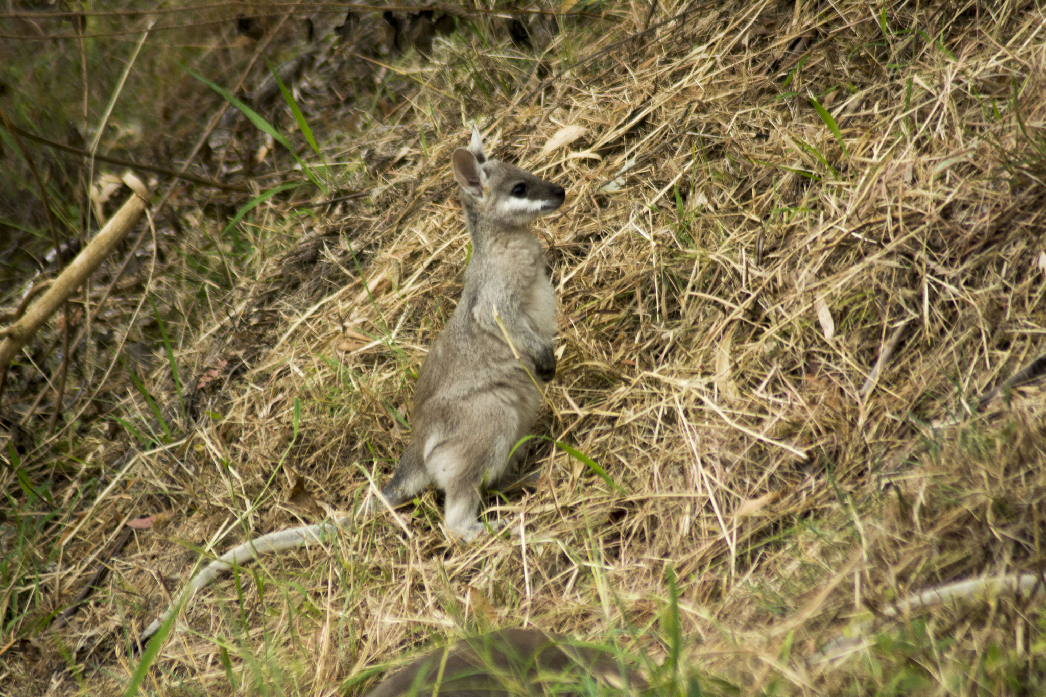 """Robbie"" - Pretty-faced Wallaby"