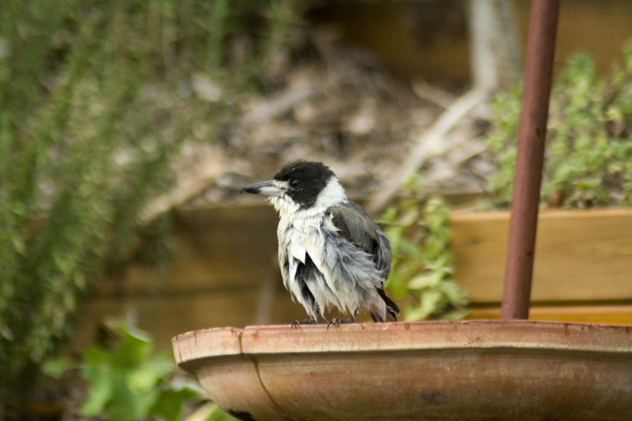 Wet Butcherbird