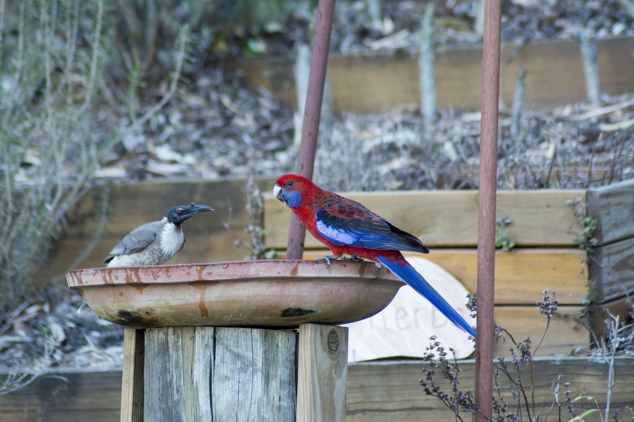 Crimson Rosella and Noisy Friarbird share the bath