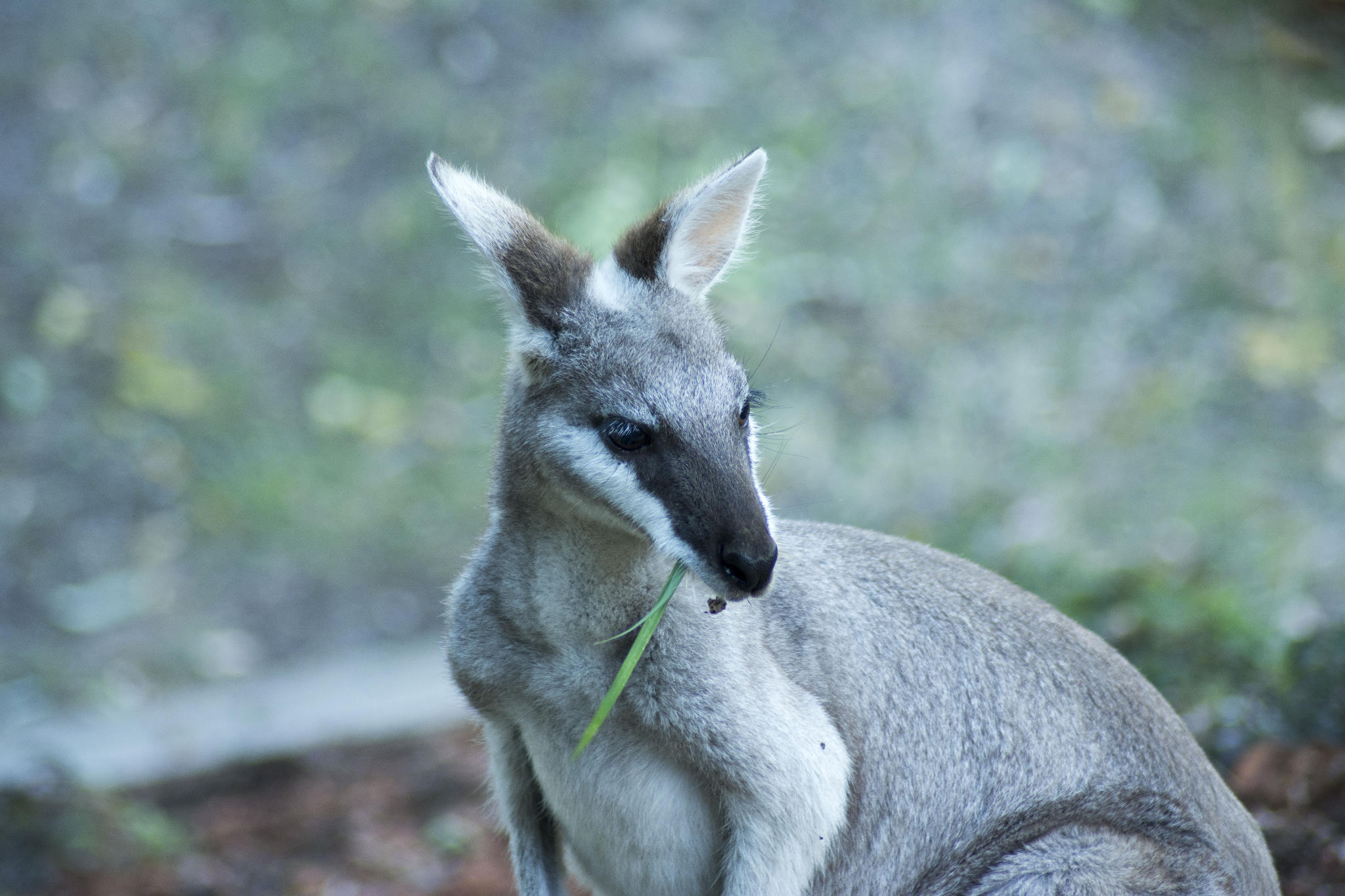 Pretty-faced Wallaby eating