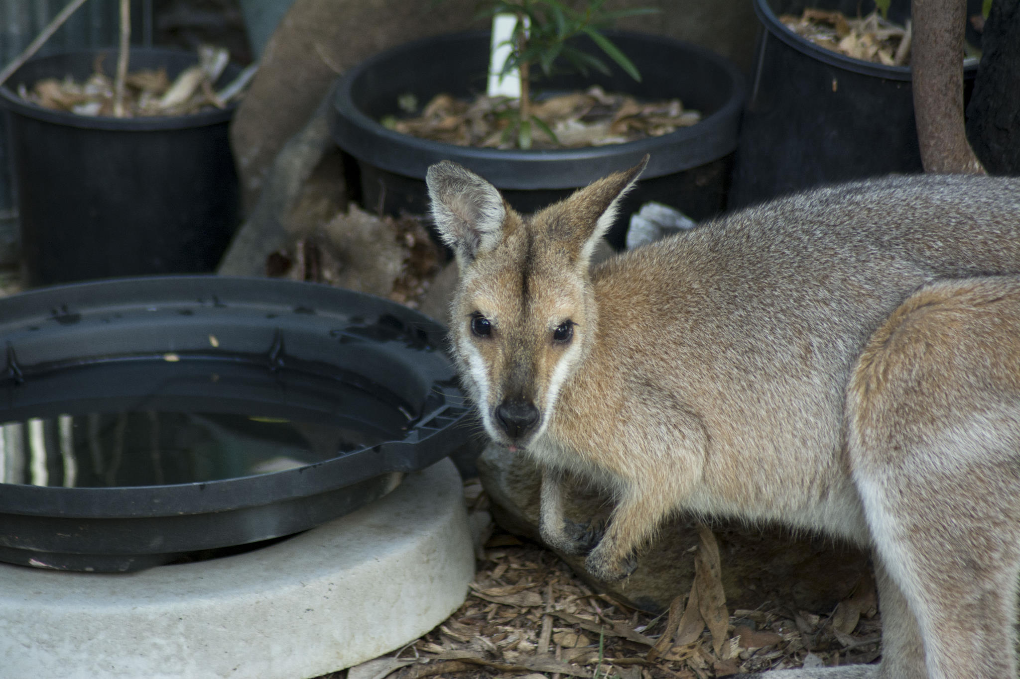 Red-necked Wallaby drinking in the backyard