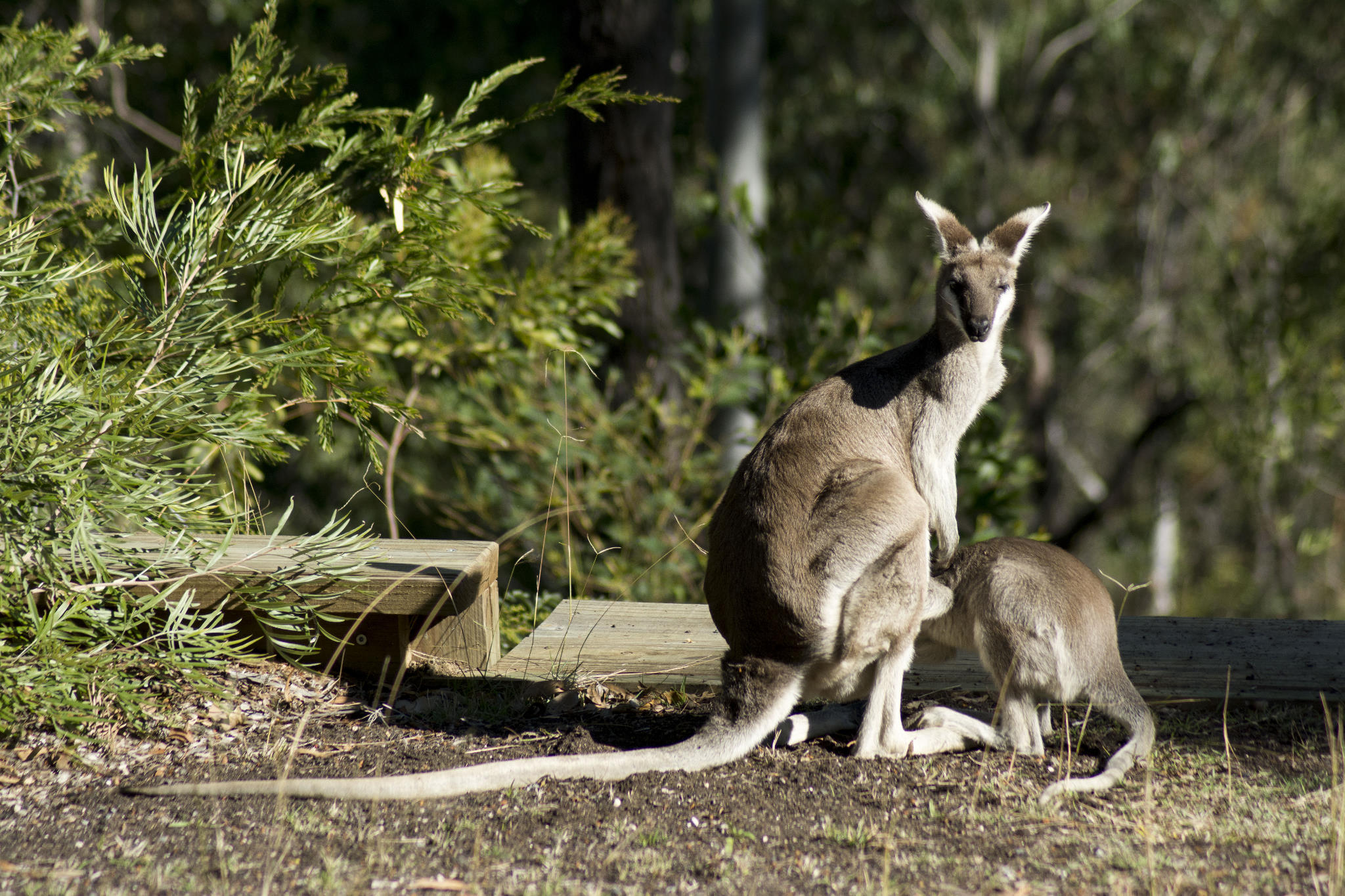 Pretty-faced Wallaby feeding