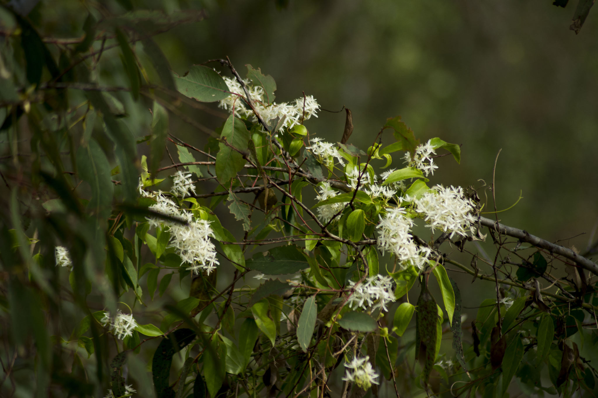 Naturally occurring native - Clematis aristata