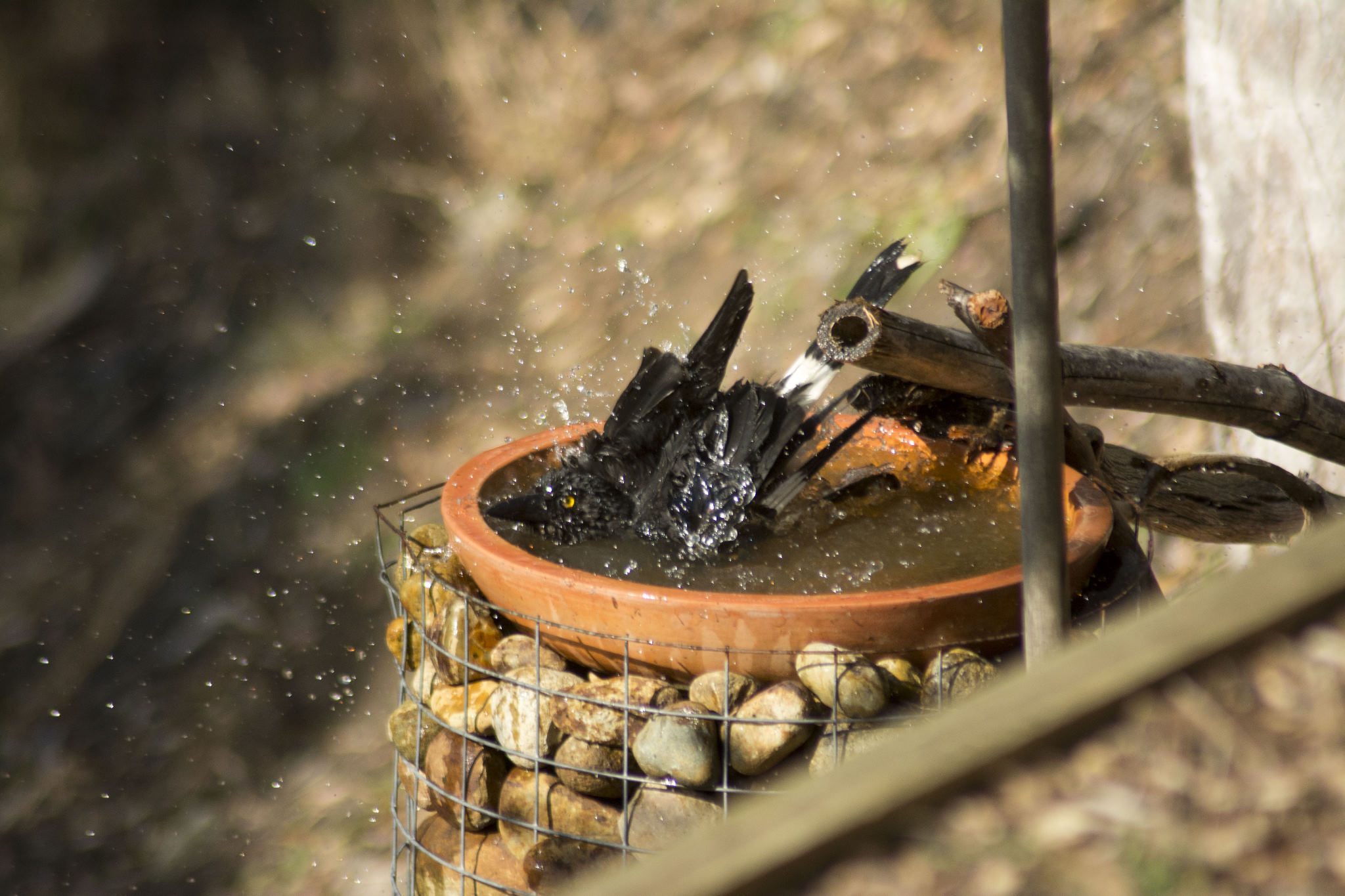 'Penny' the Currawong taking a bath