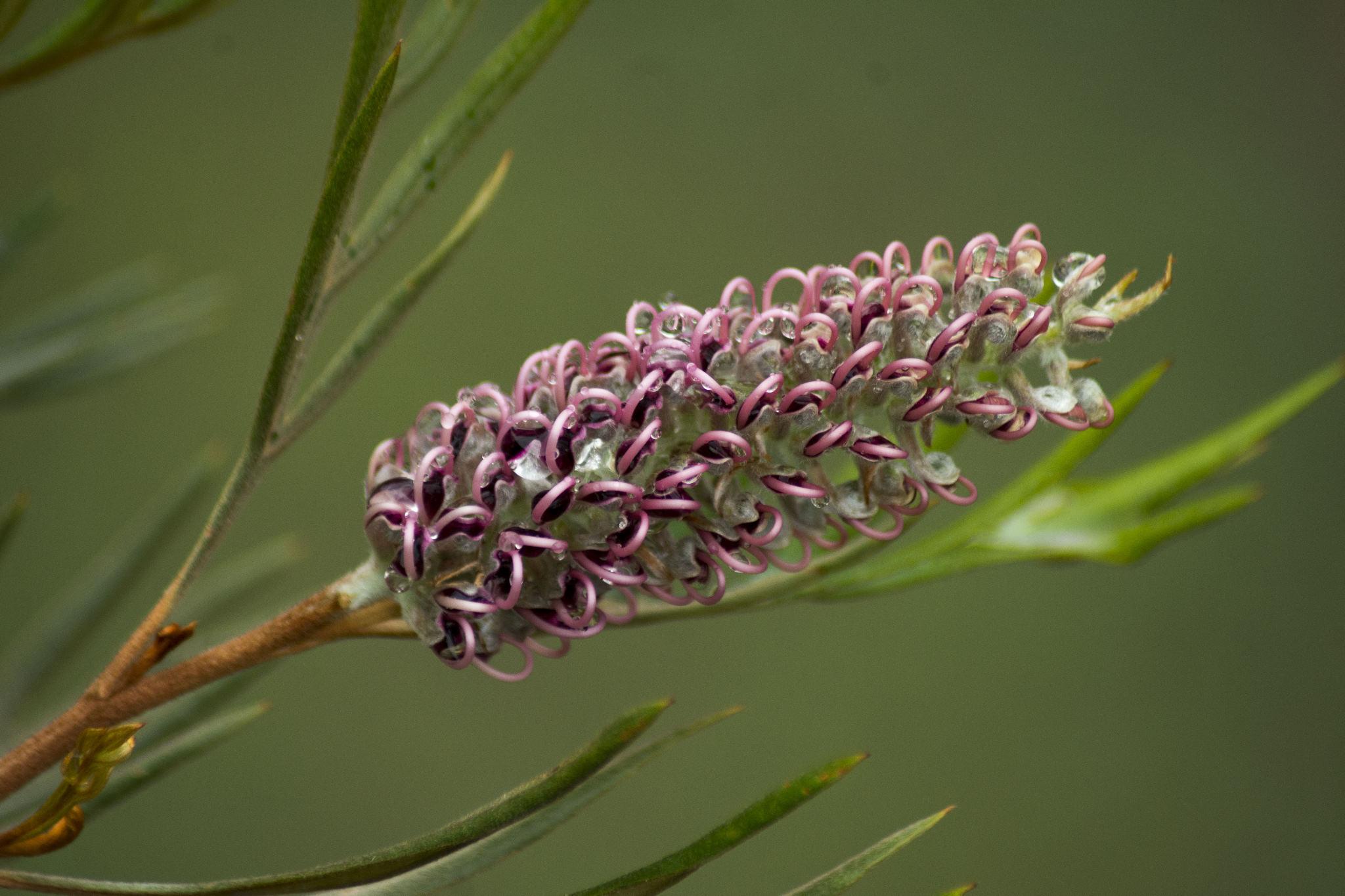 """Grevillea  - """"Dorothy Gordon"""" - flower"""
