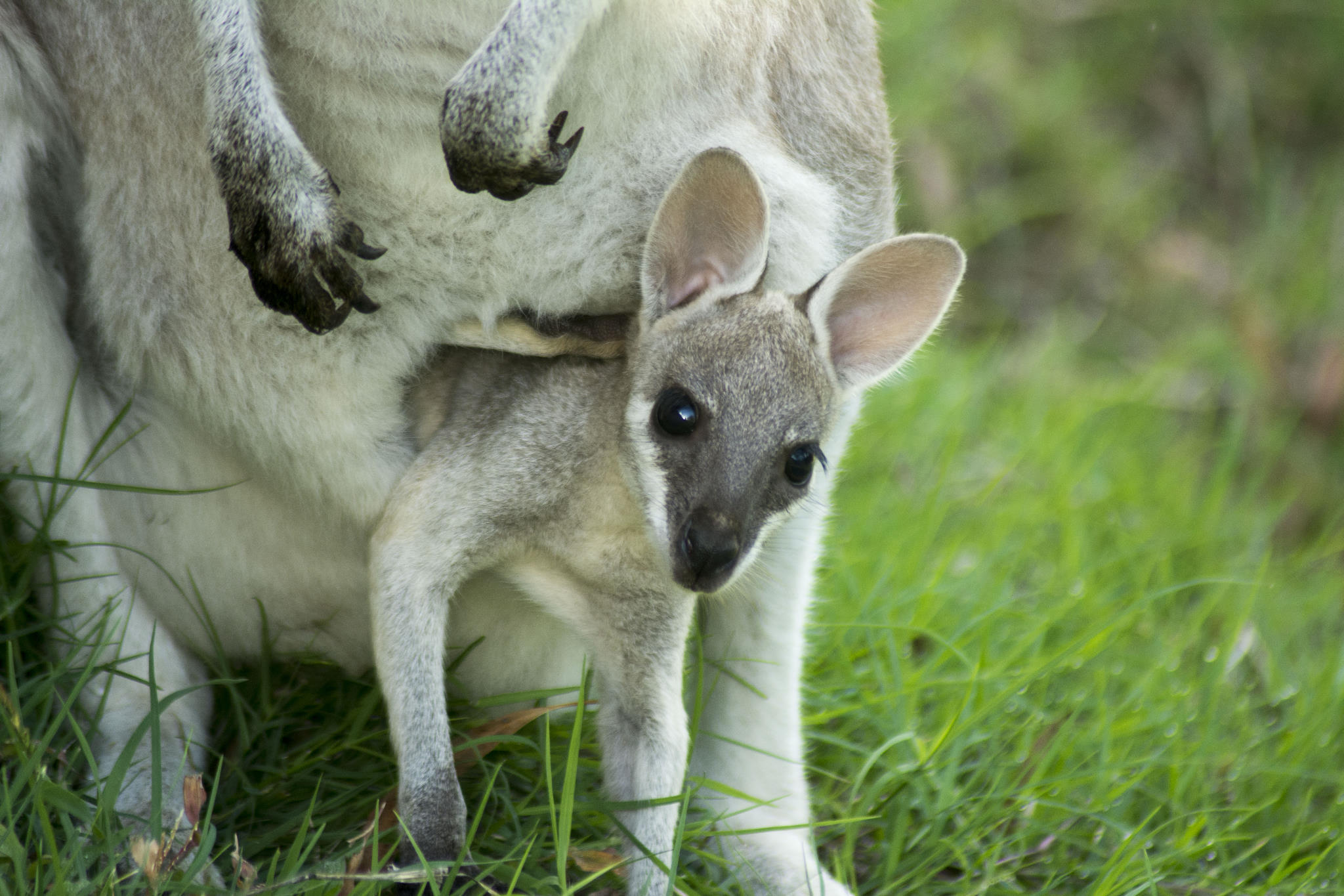 Fonzie the pretty-faced wallaby joey