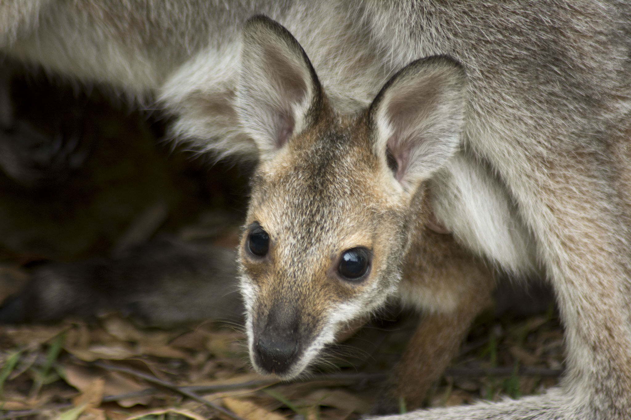 Hilda-Red-necked-Wallaby-01