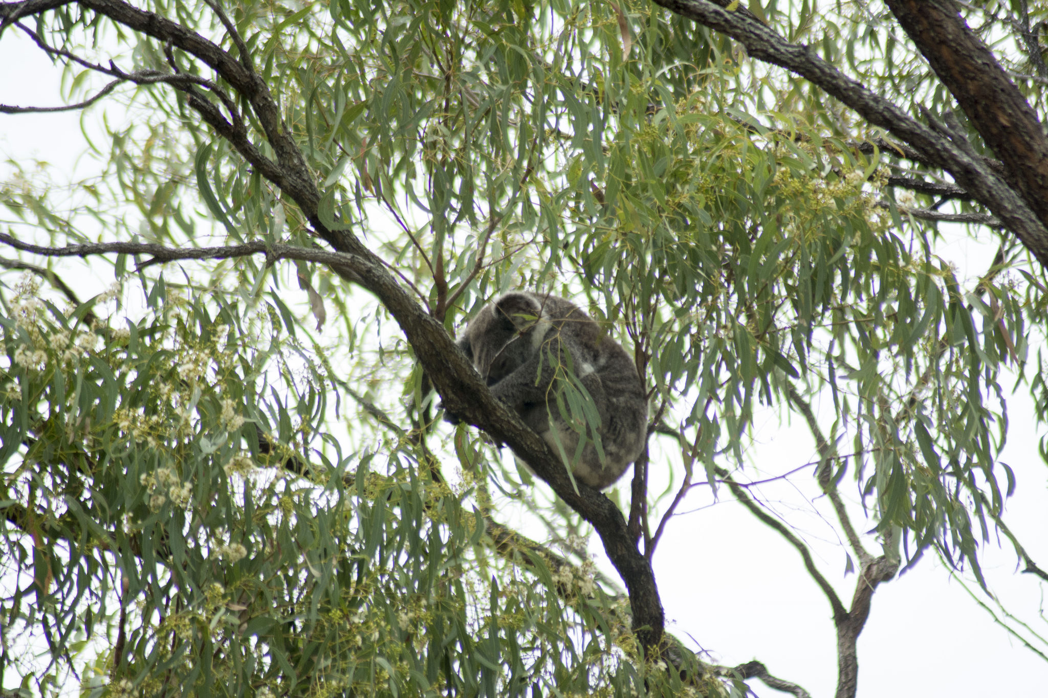 Koala sleeping in the ironbark off the deck