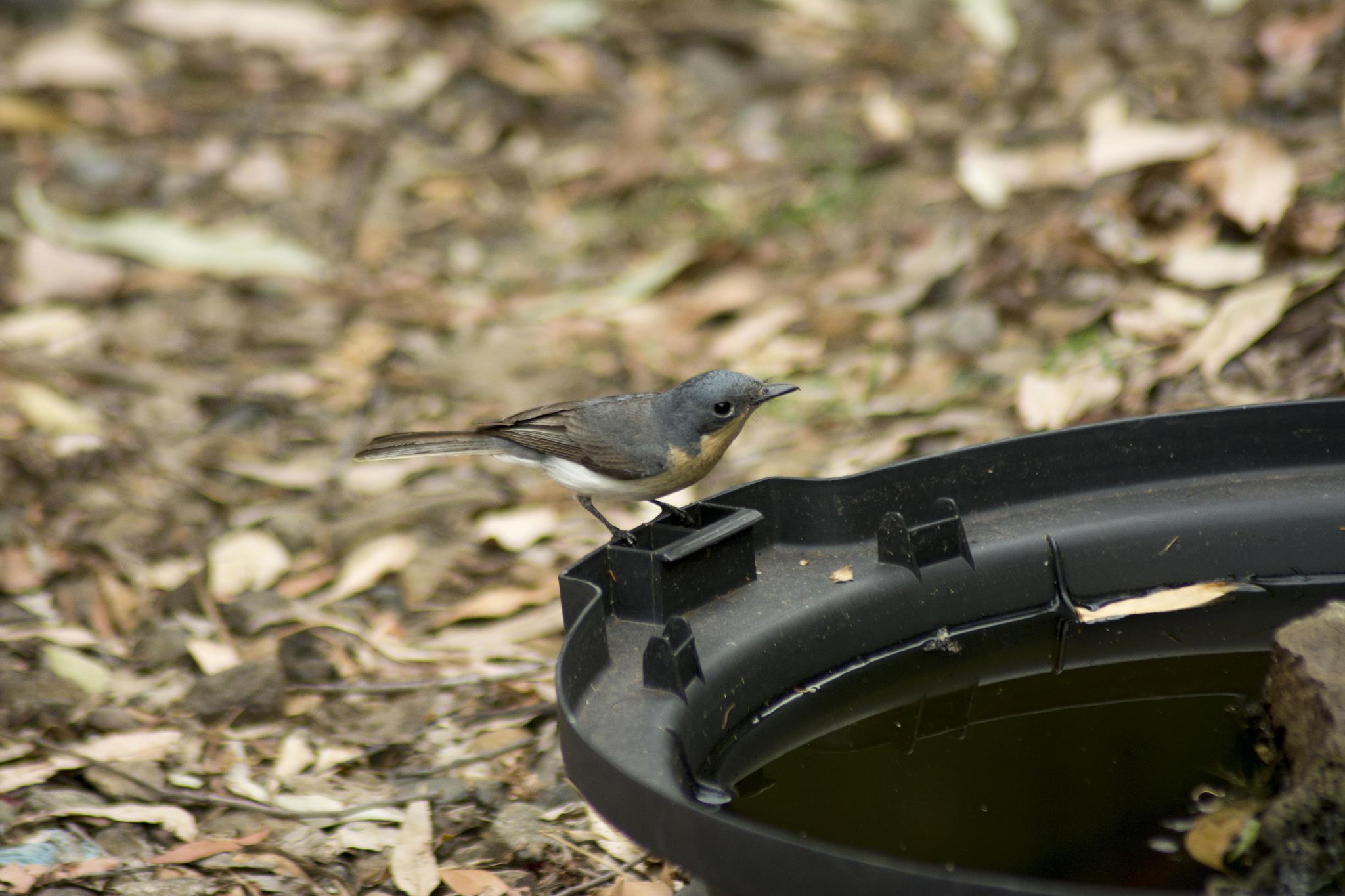 Leaden Flycatcher - female - Dropping in for a drink