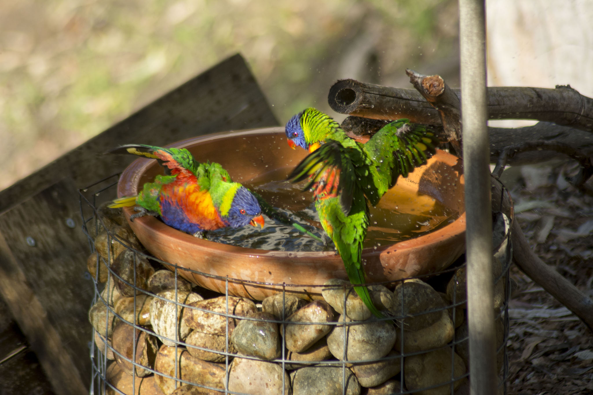 Fun time in the bath for the Rainbow Lorikeets