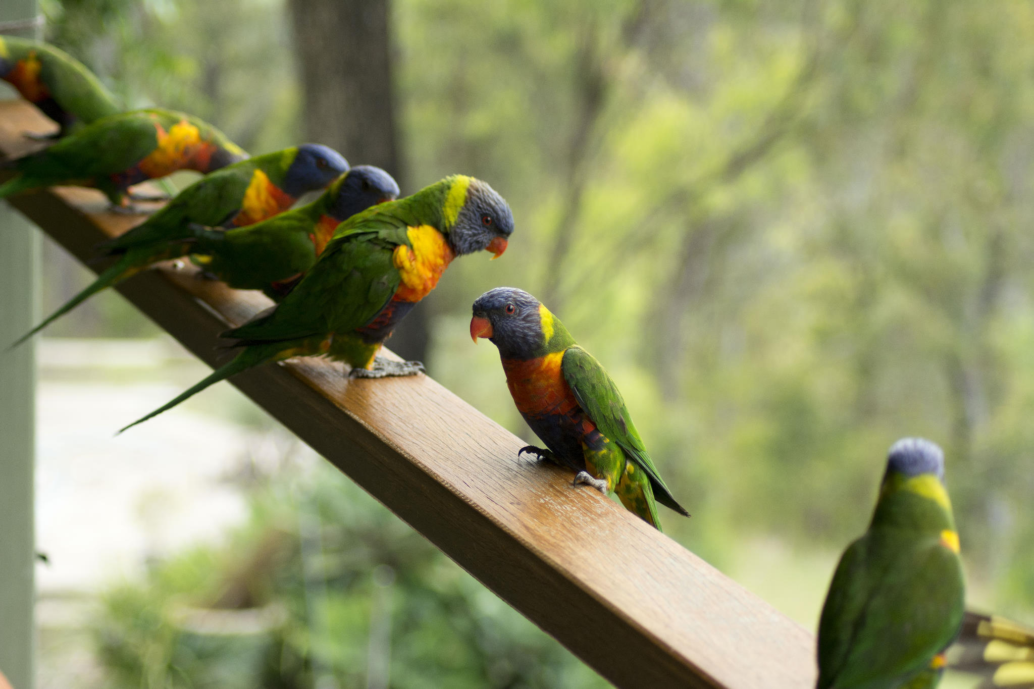 The Rainbow Lorikeet line up