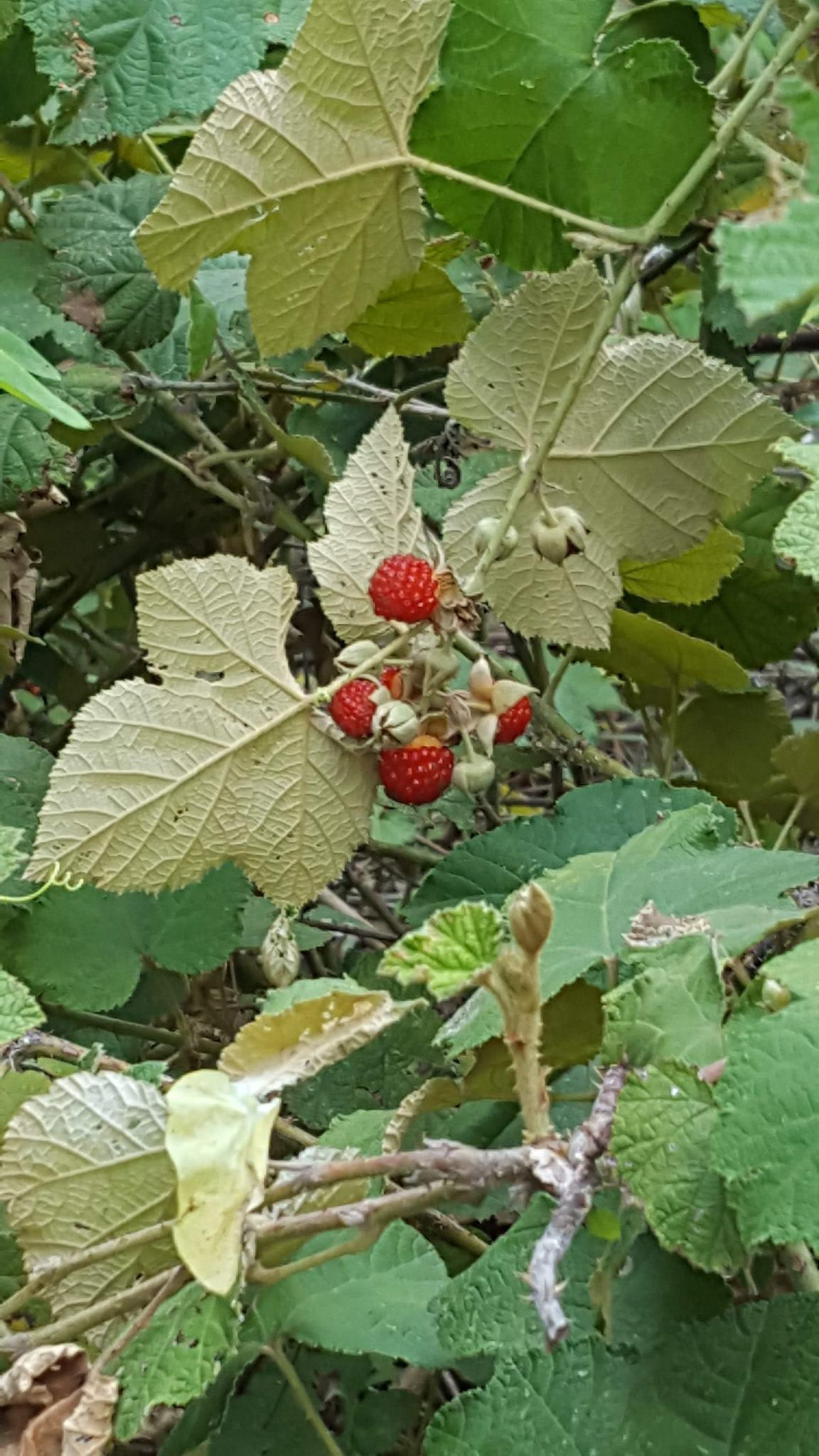 Native Raspberry - Rubus moluccanus