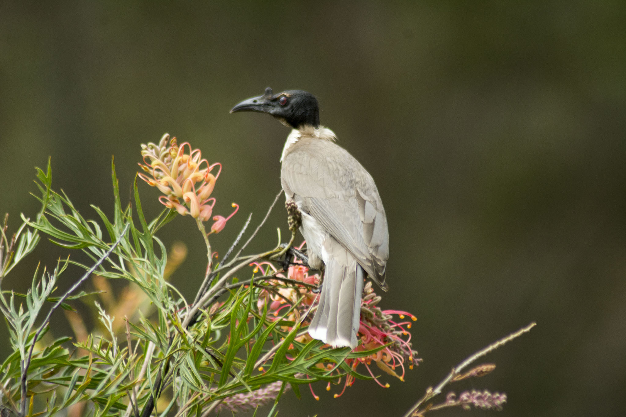 "Noisy Friarbird on the Grevillea ""Superb"""