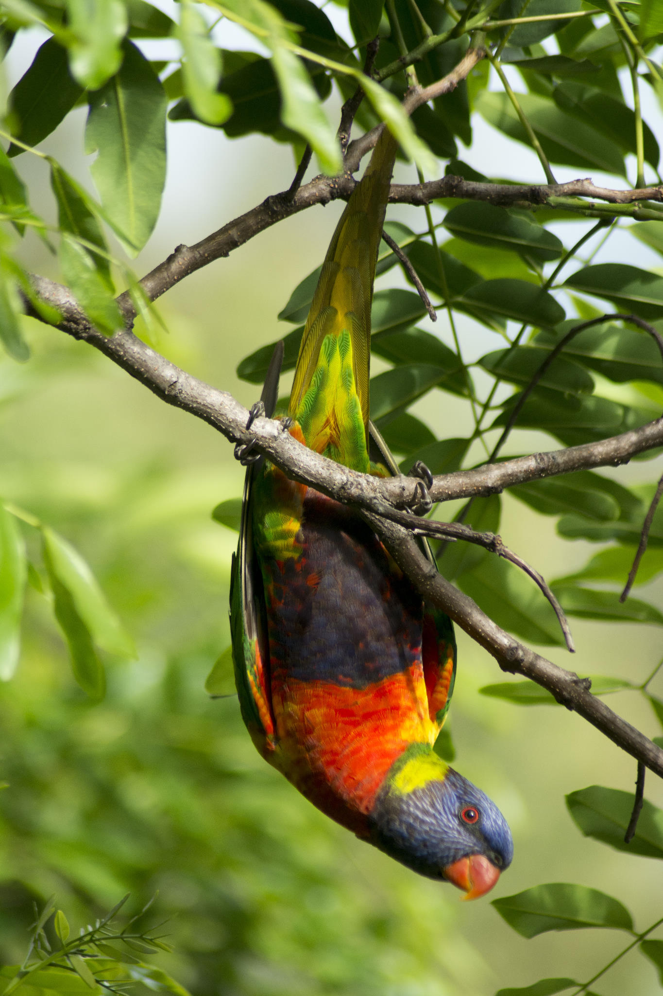 Rainbow Lorikeet hanging out