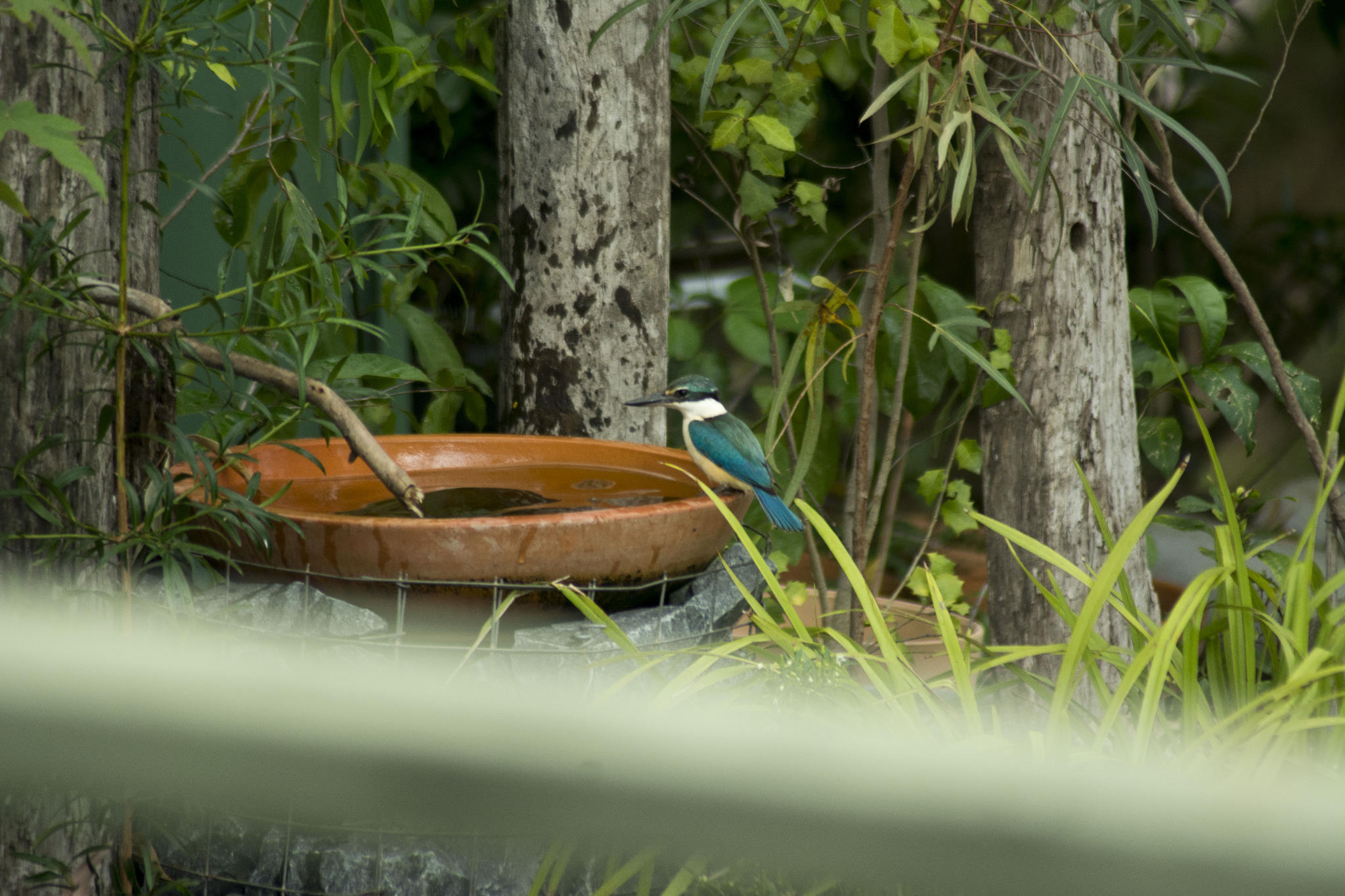 Sacred Kingfisher visiting the water habitat