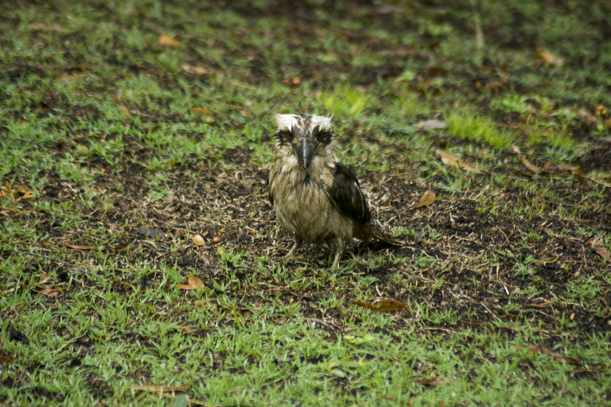Wet and muddy Kookaburra hunting on the ground