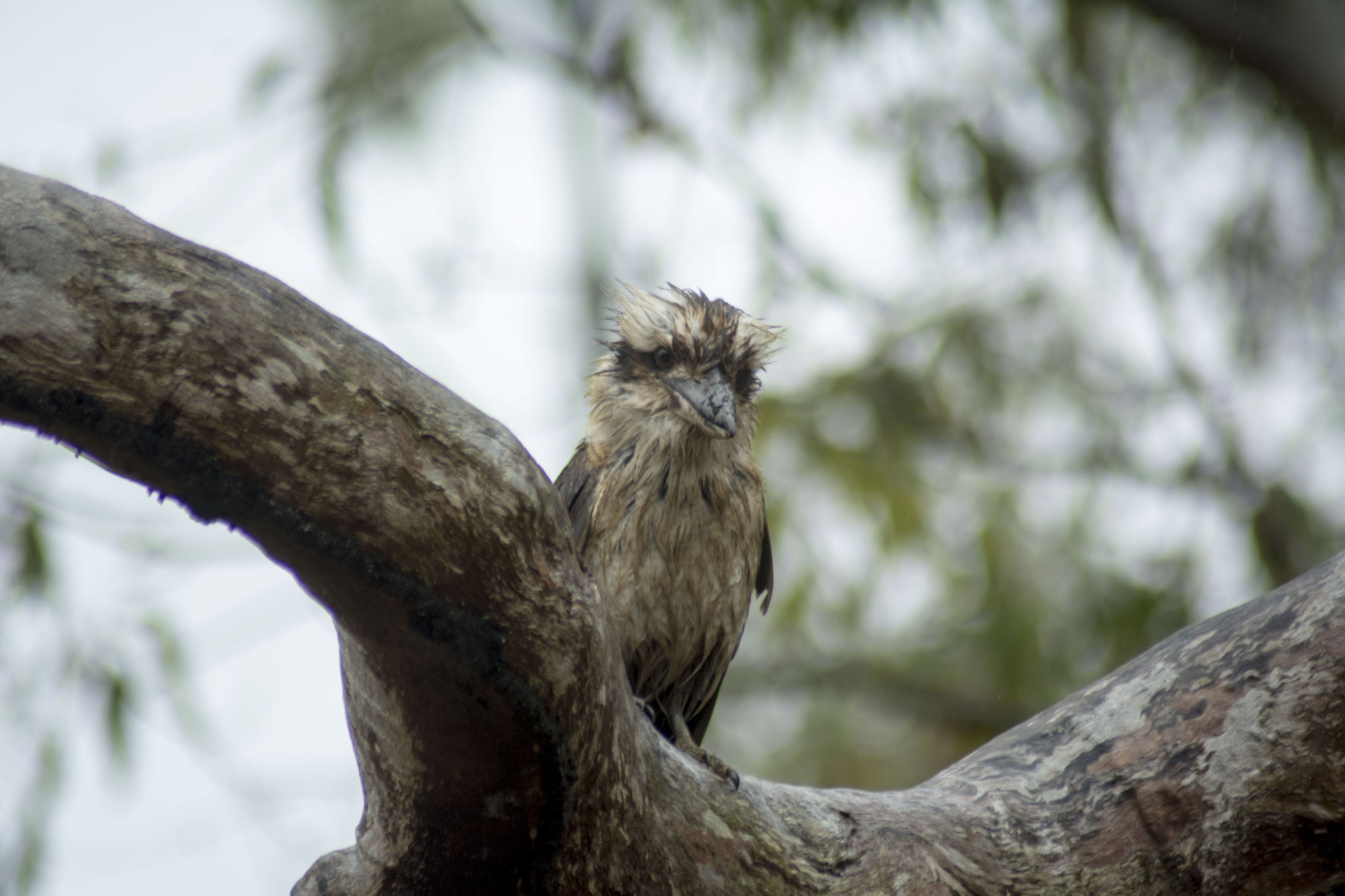 A very wet Kookaburra