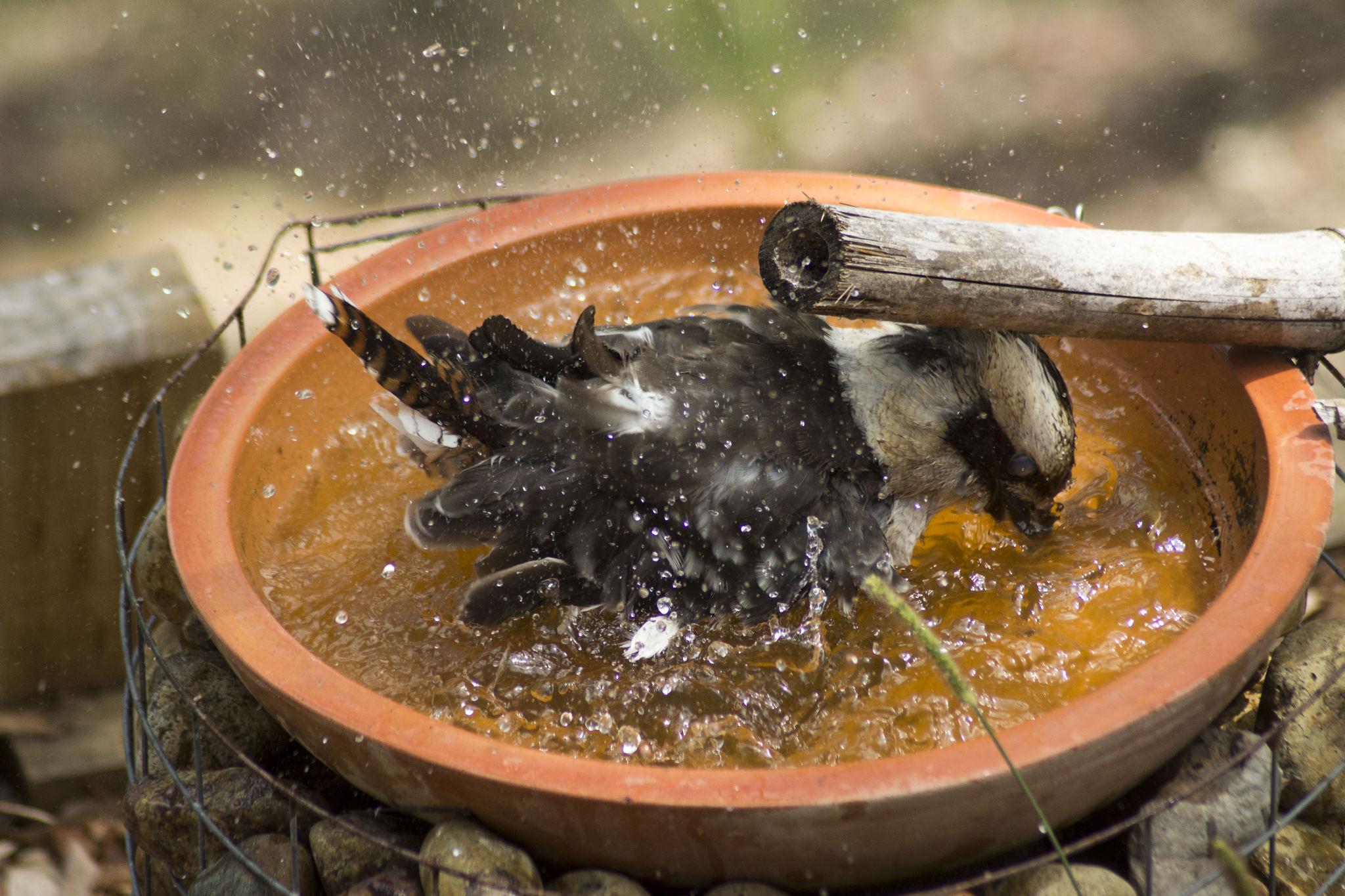 Kookaburra takes a bath