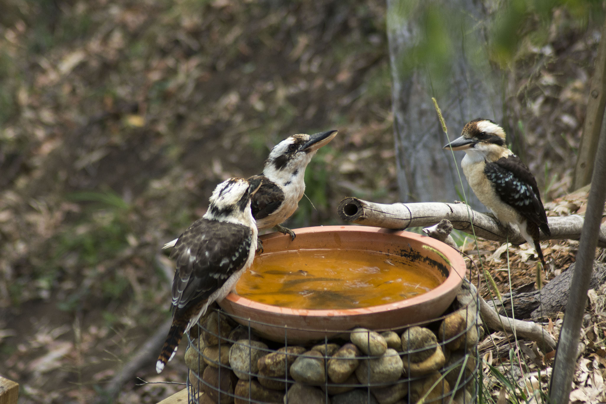 Three Kookaburras drop in for a swim.