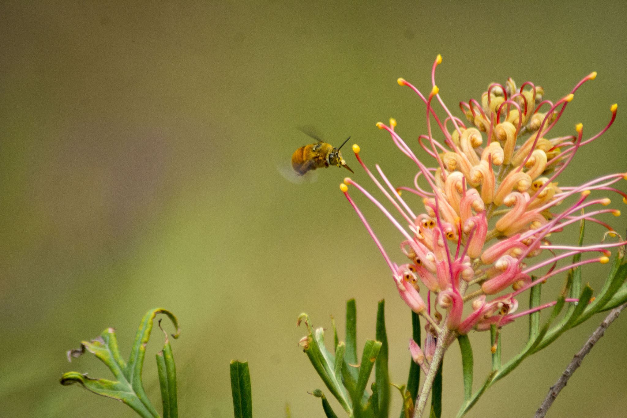 Teddy-bear bee on our Grevillea 'Superb'