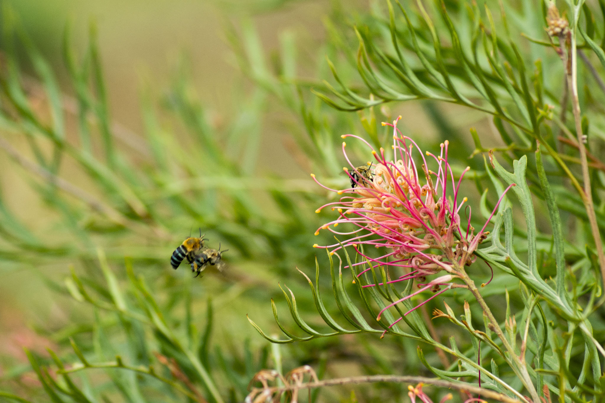 Blue-banded bees on our Grevillea 'Superb'