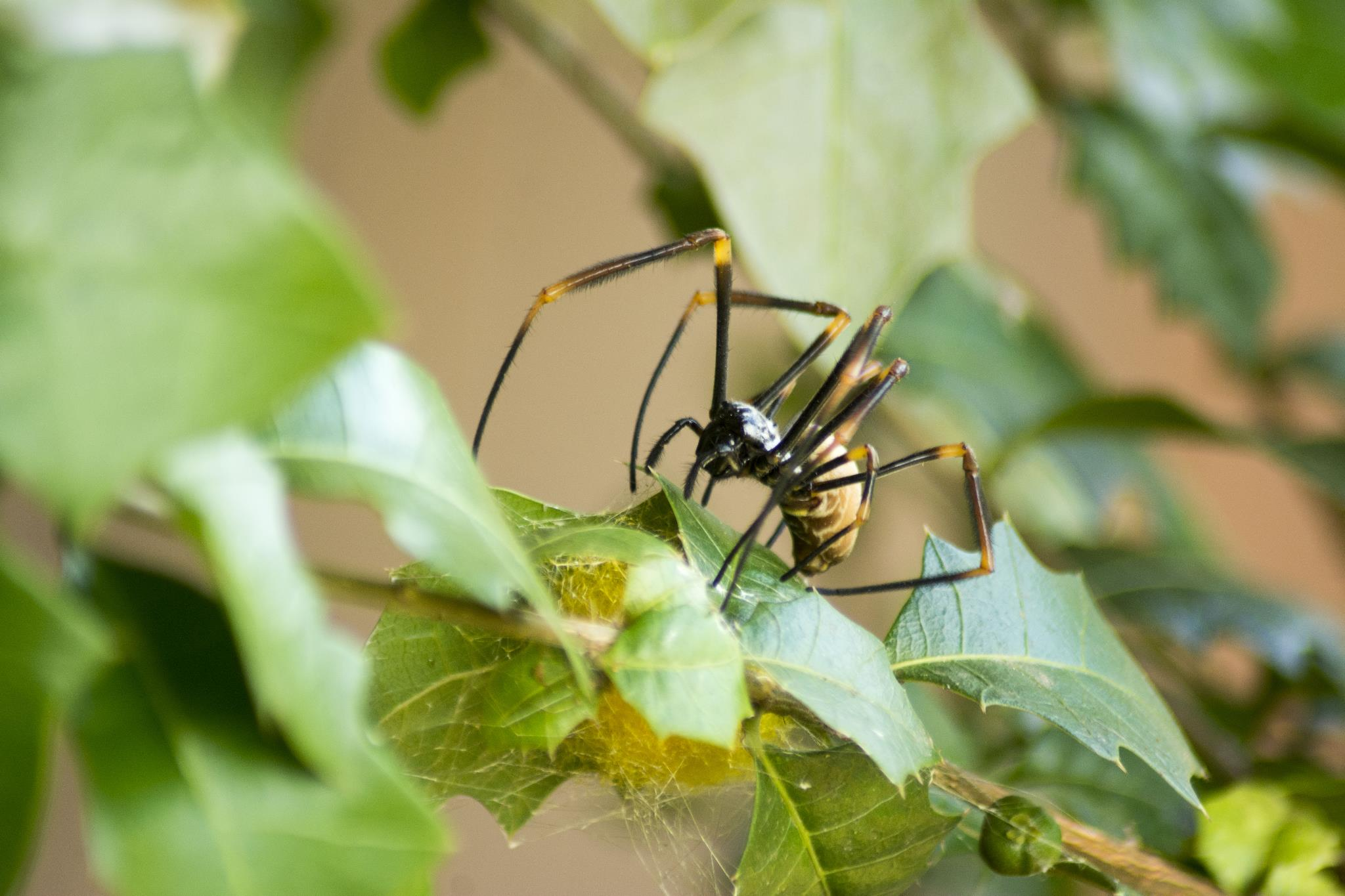 Golden Orb Weaver - female