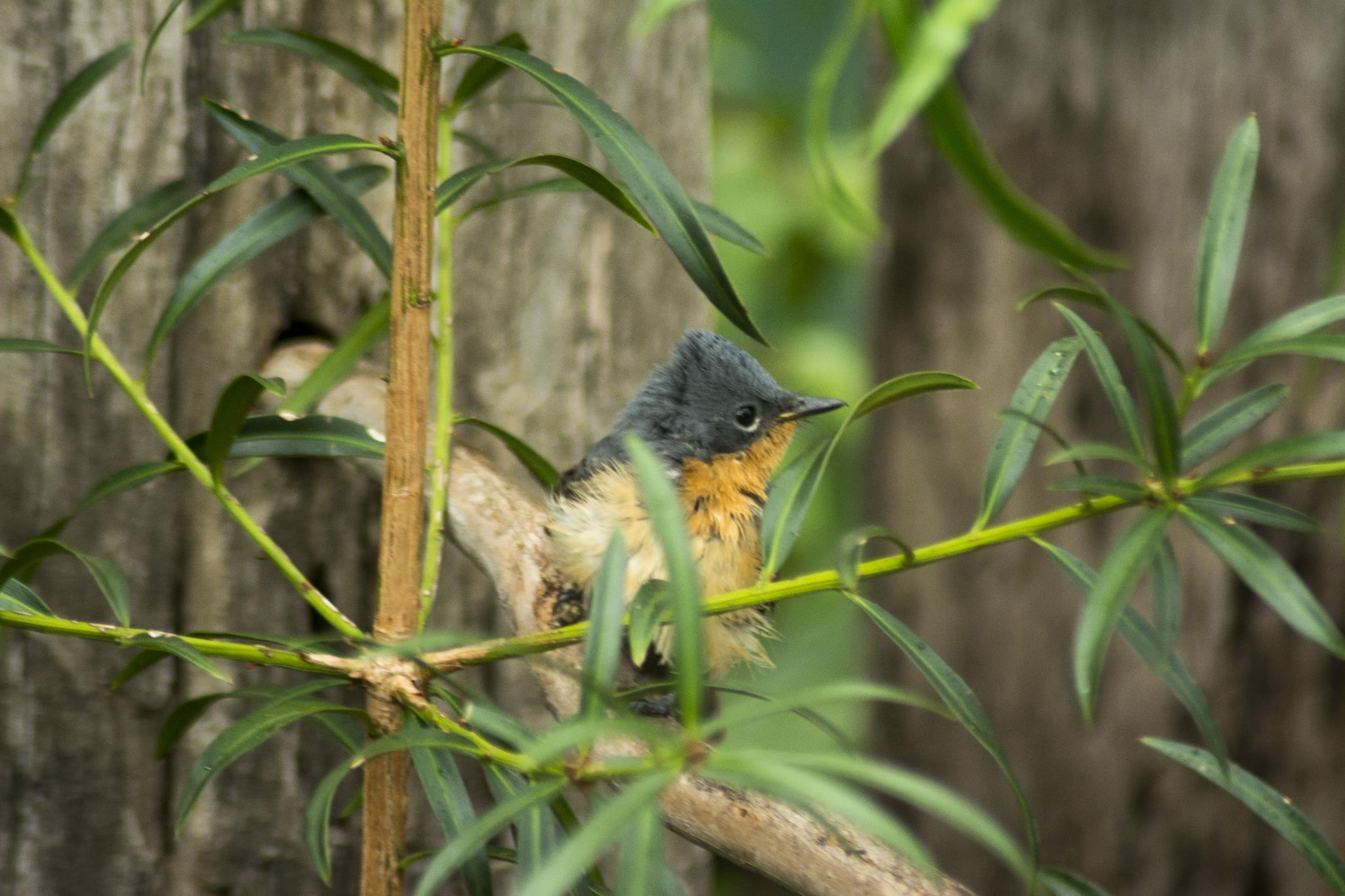 Leaden Flycatcher - female