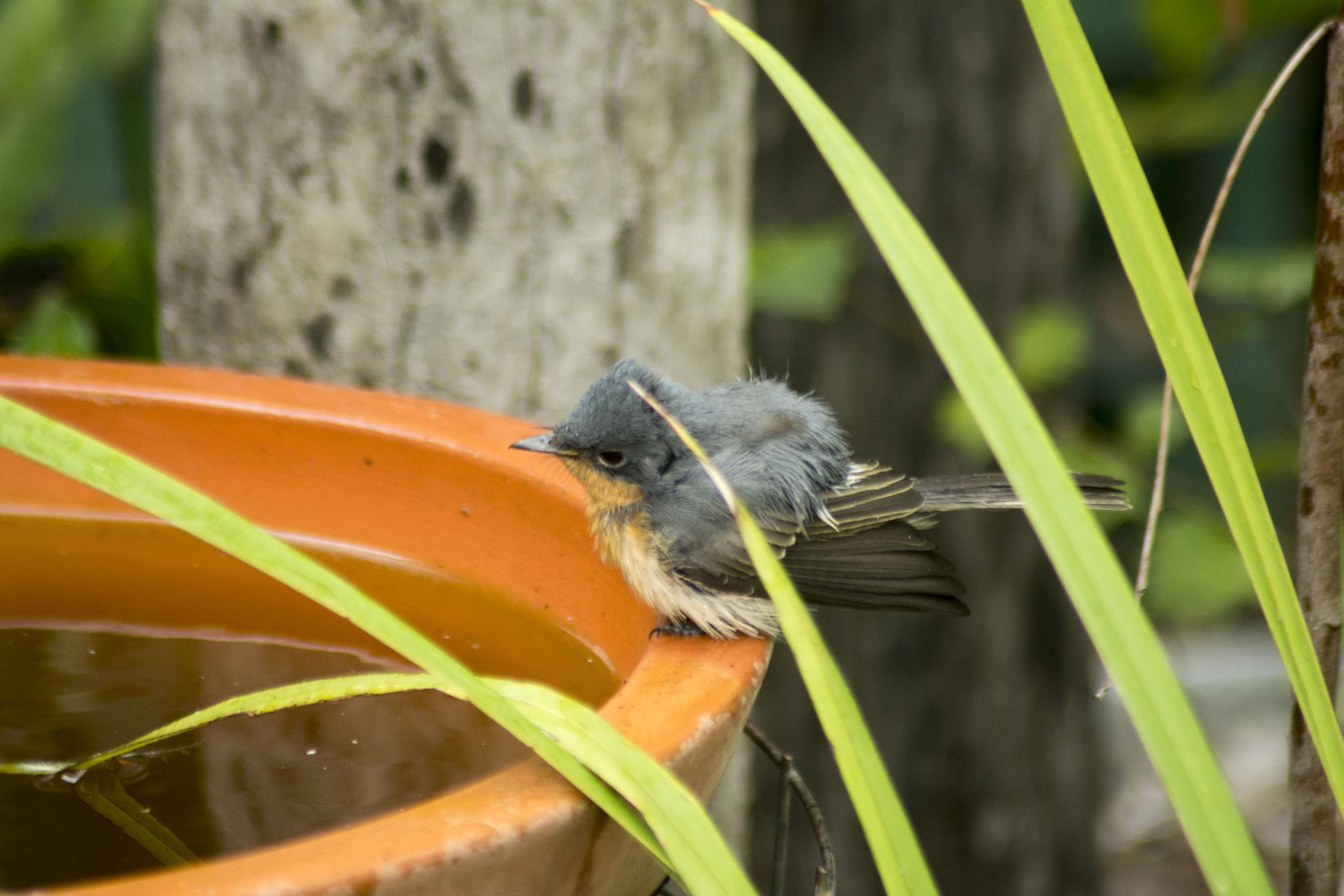 Leaden Flycatcher juvenile taking a bath