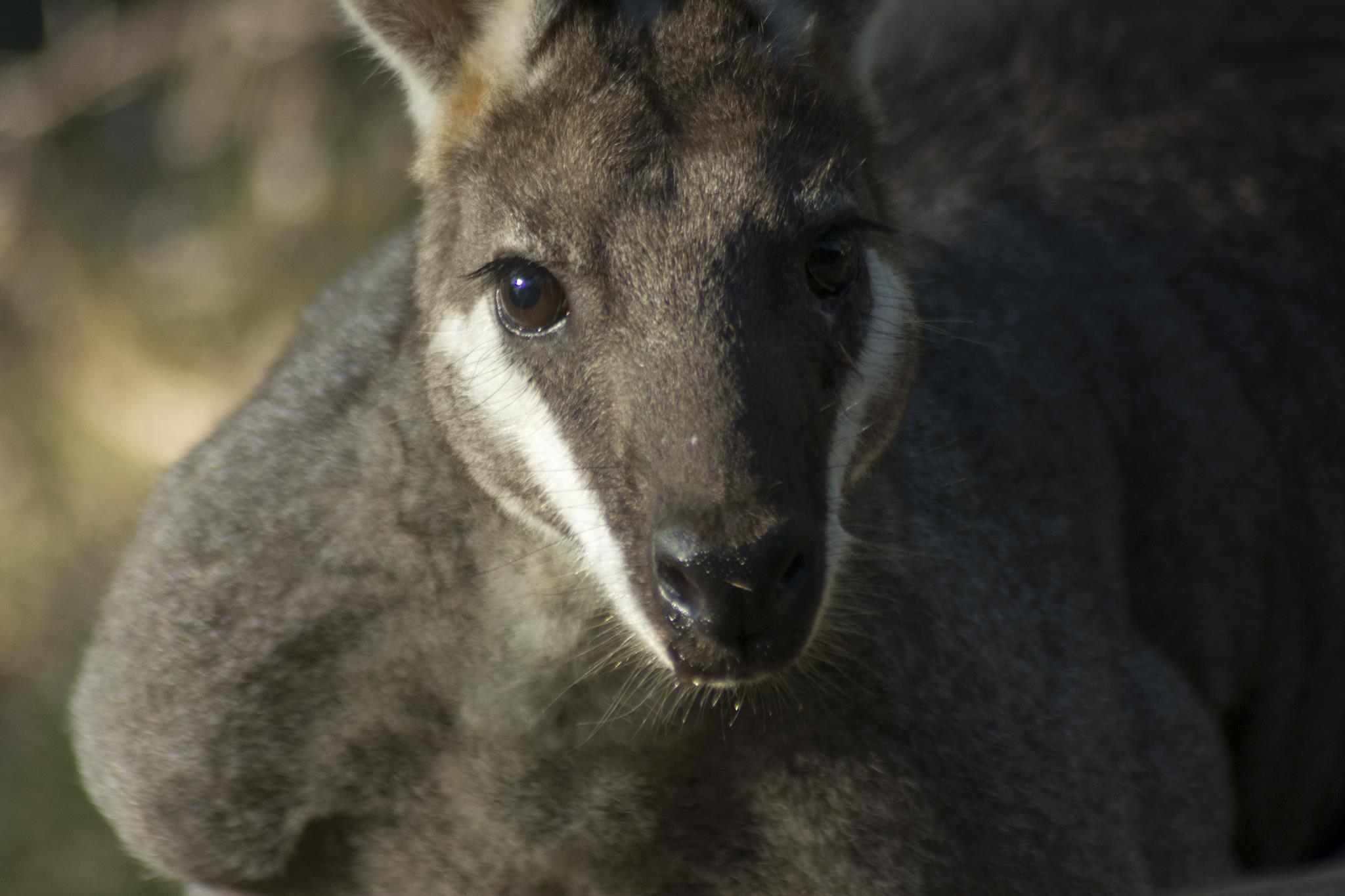 Pretty-faced Wallaby