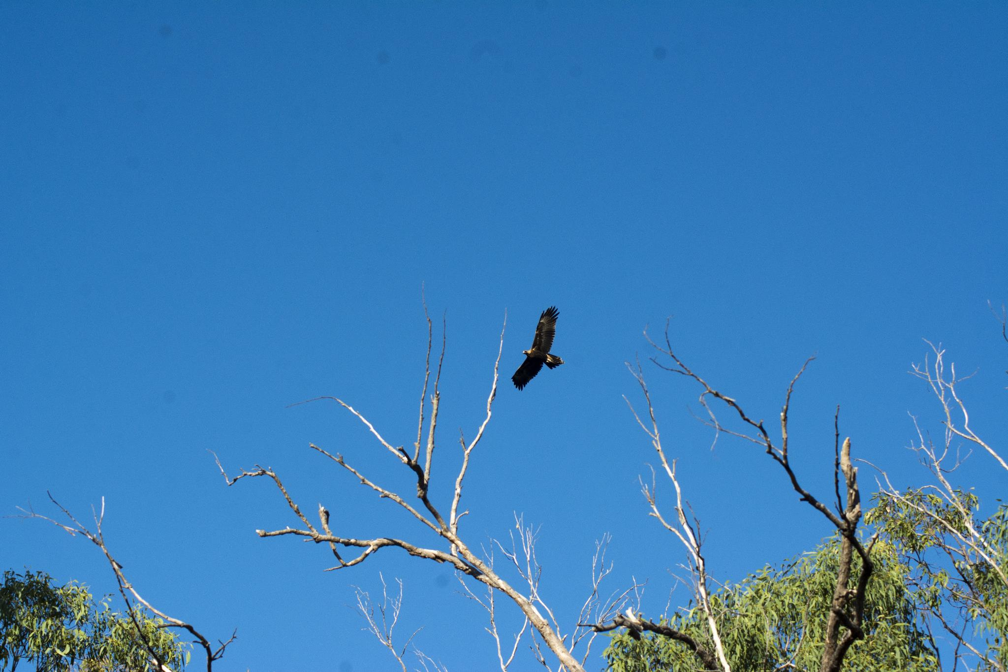Wedge-tailed Eagle soaring close to the house