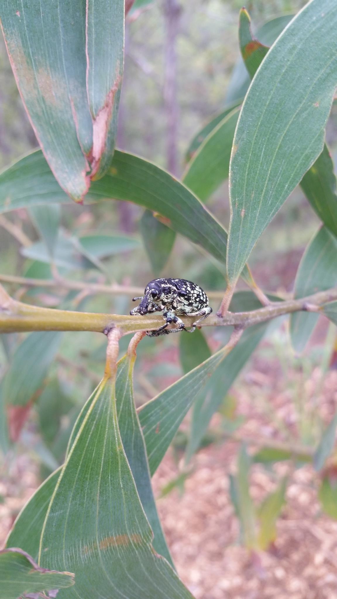Acacia Weevil
